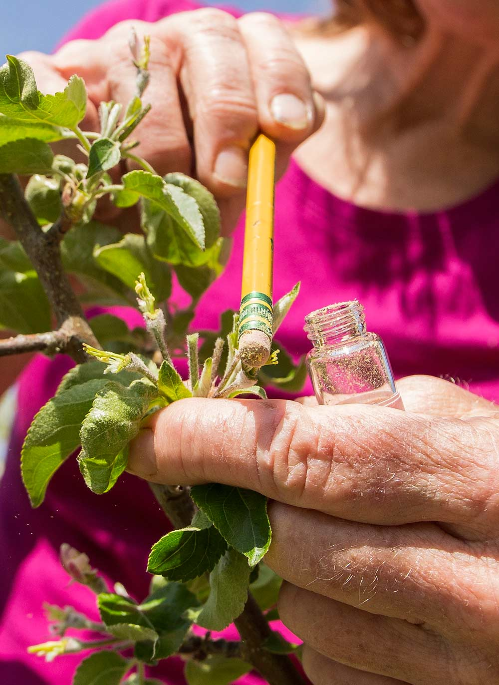 The hunt for new varieties continues, as research technician Bonnie Schonberg uses a pencil eraser to apply pollen to the stamens of an unnamed variety at the university's Sunrise research orchard near Wenatchee. Schonberg previously stripped and emasculated the blooms to isolate the cross pollination. (Photo by Ross Courtney,  Good Fruit Grower )