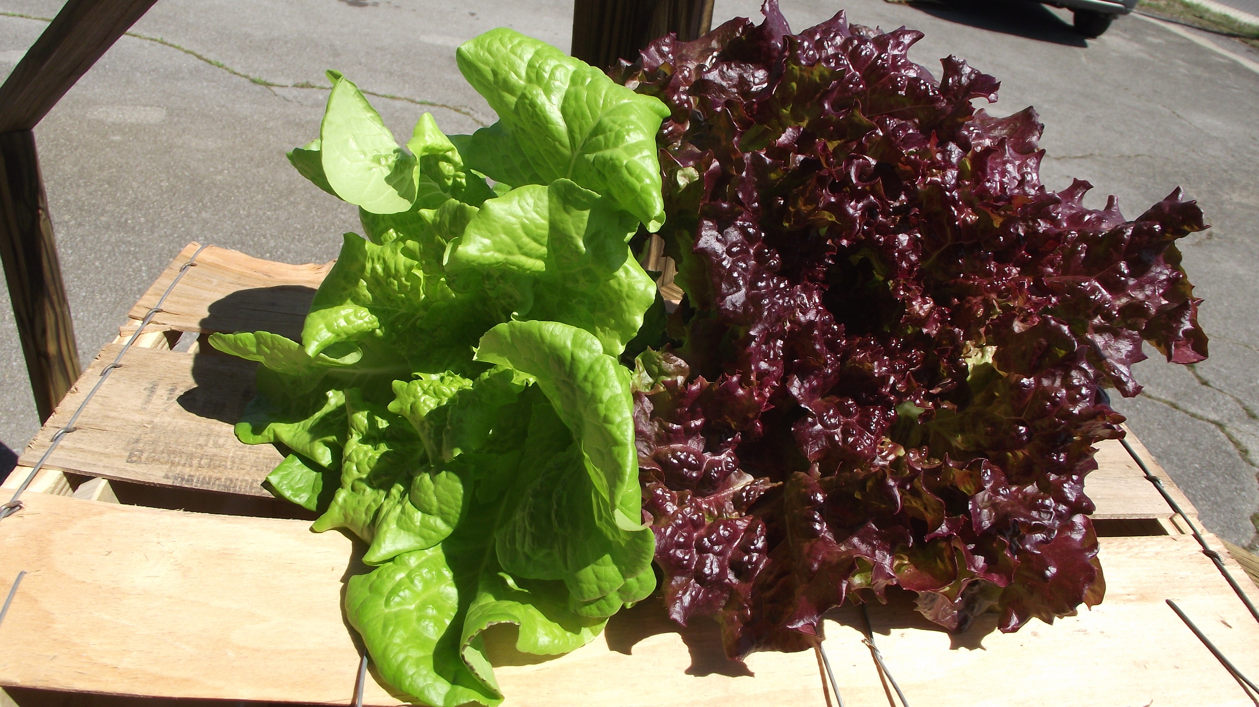 Hydroponic lettuce from our City Farm.