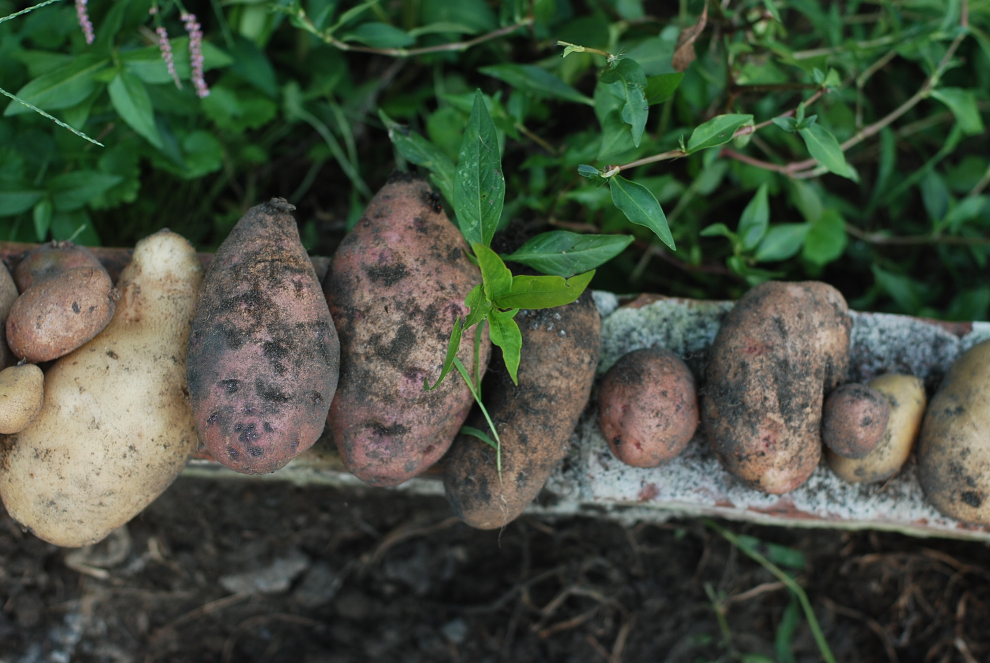 First potato harvest!