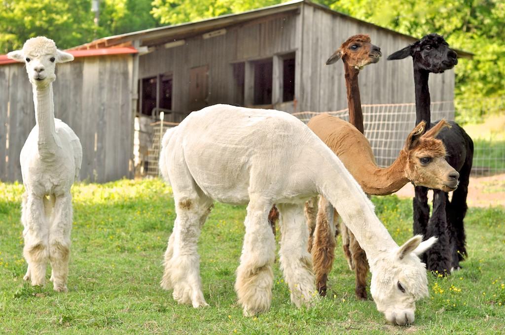 Alpacas June 6253.jpg