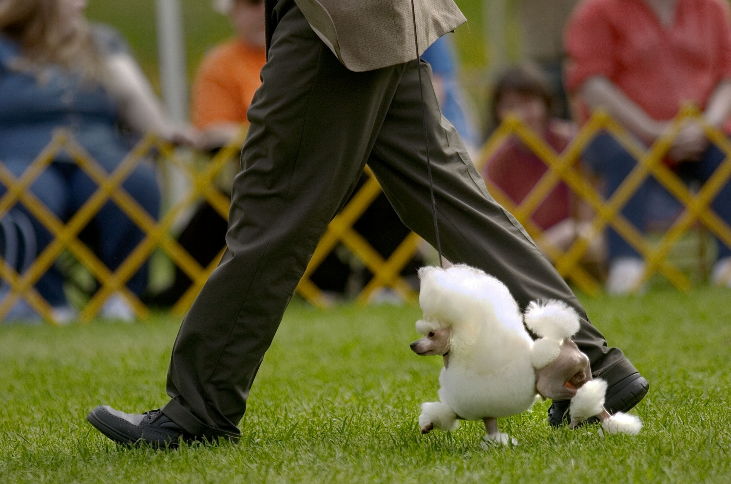 """Dog handler Martin Gregory shows a toy poodle called """"Usao"""" at the annual Hangtown Kennel Club dog show at in Placerville on Saturday May 28, 2005."""