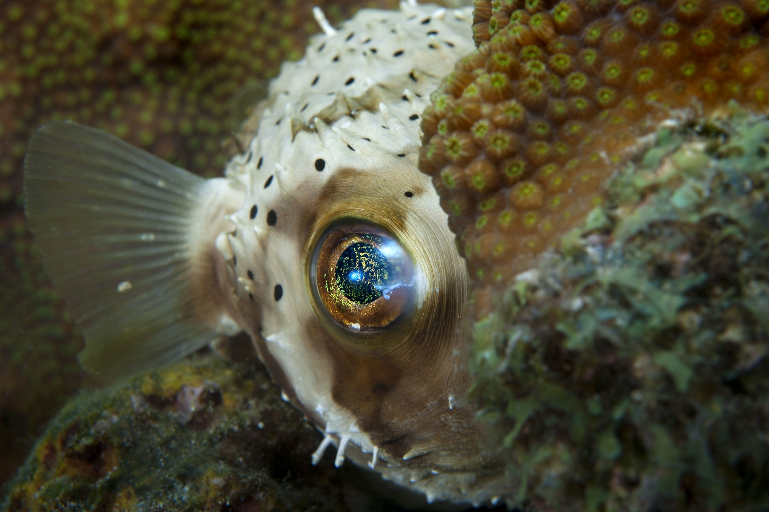 A young Longspine balloonfish (Diodon holocanthus) peers out from behind a coral head at Something Special in Bonaire on Friday, August 14, 2015.