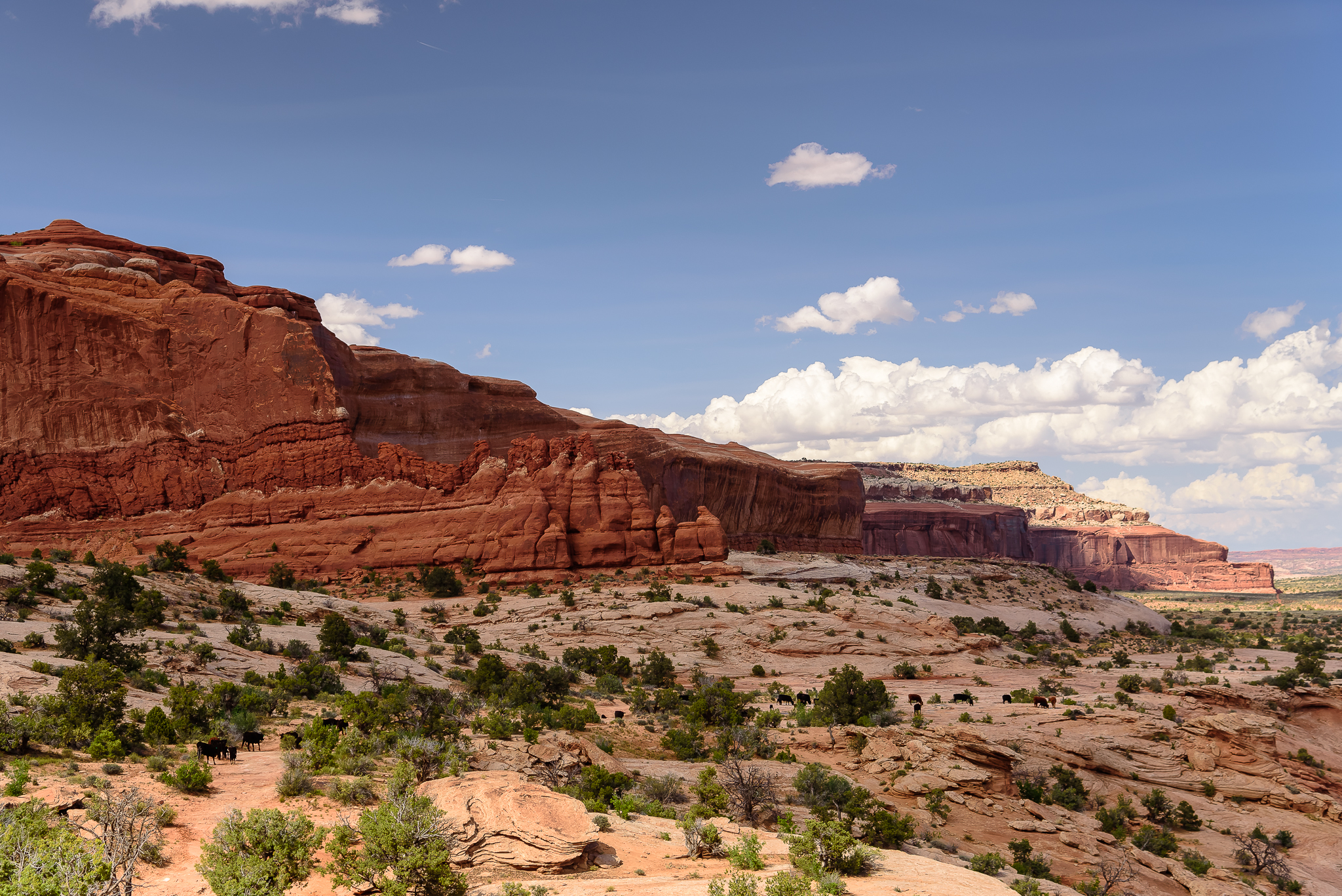 The cattle parade. Never had I seen (or heard) wild cattle on the move. Canyonlands National Park, UT.