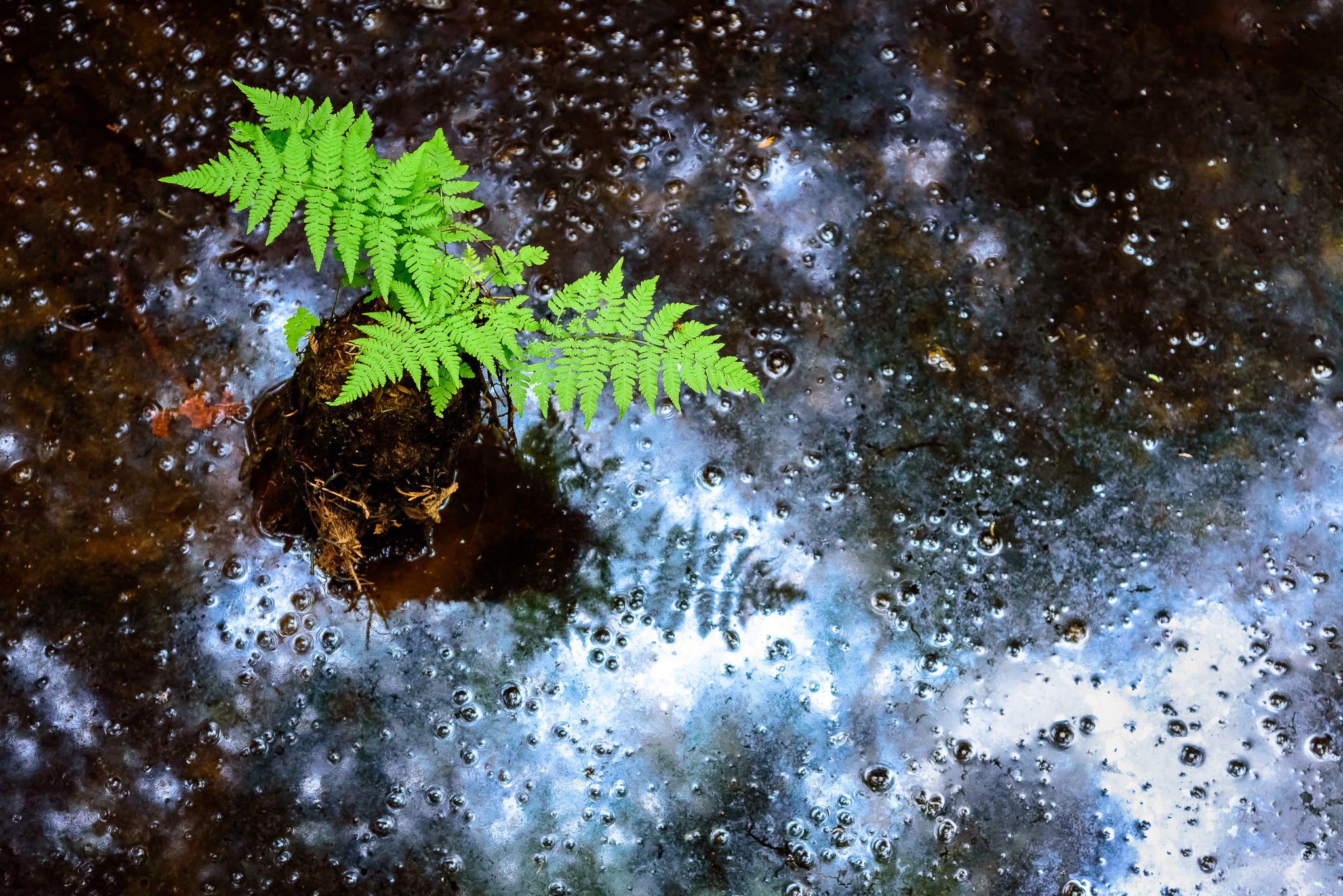 Just a fern spaceship piloting through the swamp-space time continuum. Isle Royale, NP.