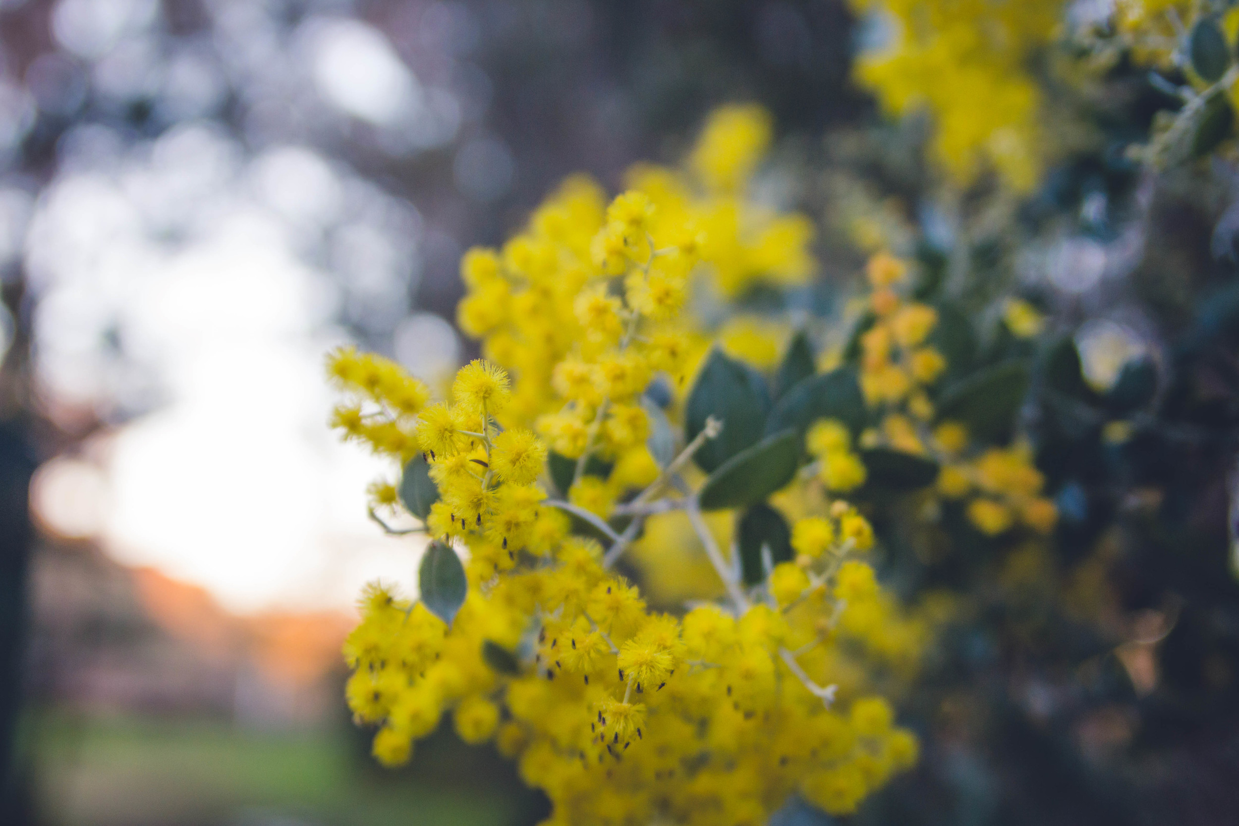 I really love Aussie Wattles. They are full of colours and so vital. Love them!
