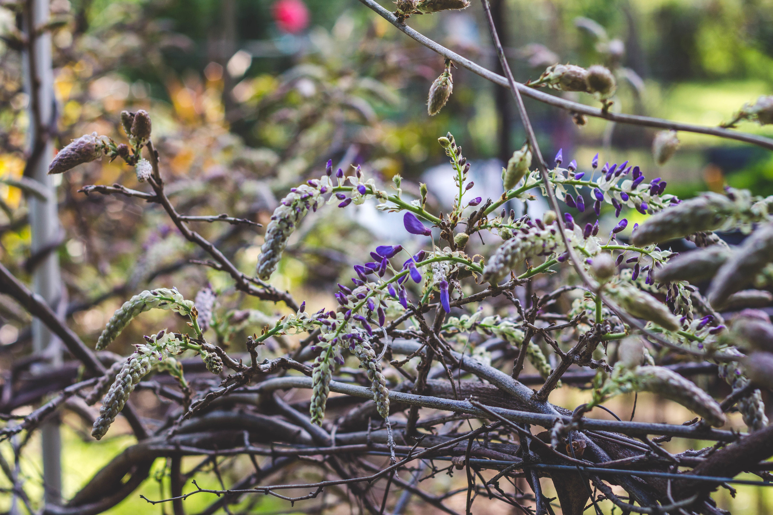 Wisterias about to bloom