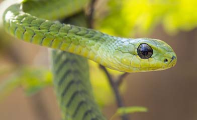 Boomslang - a common green tree snake, venomous but timid. They produce a haemotoxic venom. Boomslang bites are rare as these snakes are back fanged.