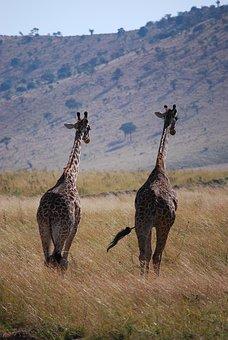 giraffe-2292637__340.jpg