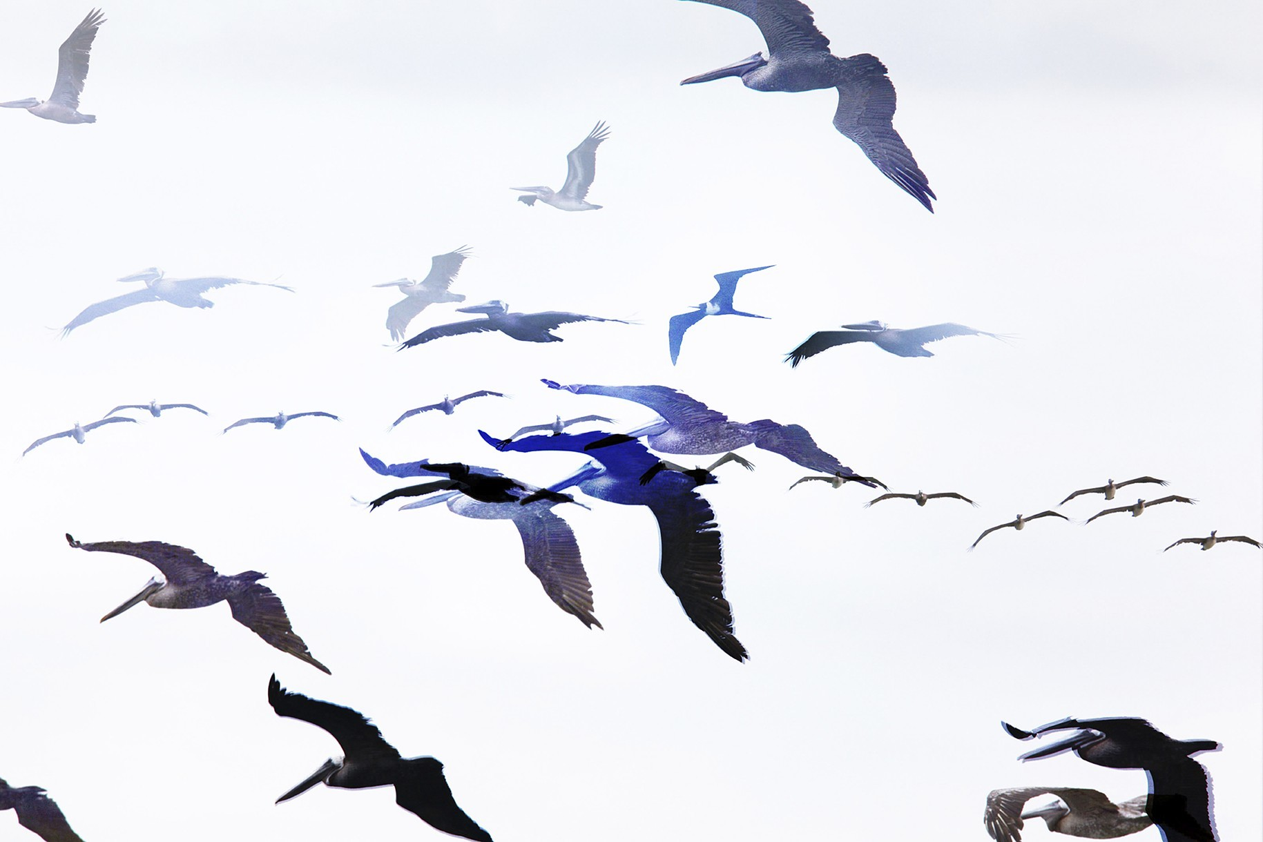 One Hour of Birds (Jenny Kendler - Brown Pelicans and a Magnificent Frigatebird flying along the Pacific, Nosara, Costa Rica) Performative Photograph, July 2015