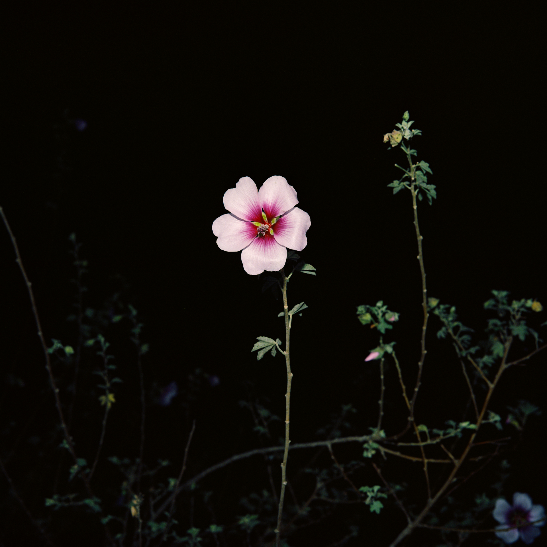 Night Flower 132