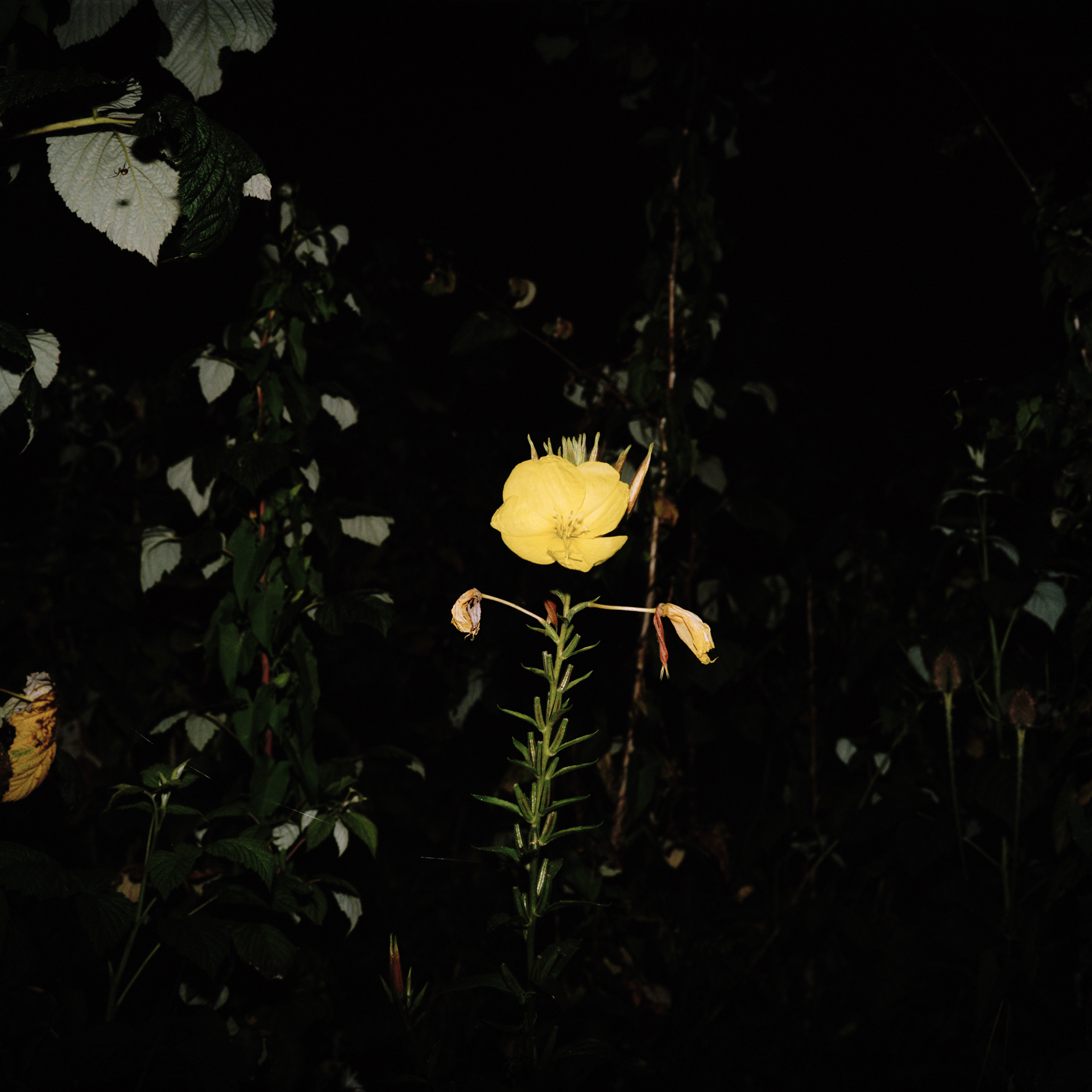 Night Flower 059