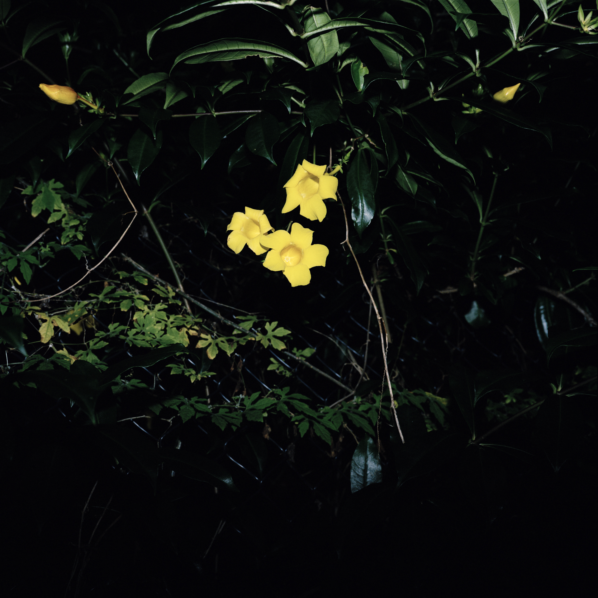 Night Flower 087