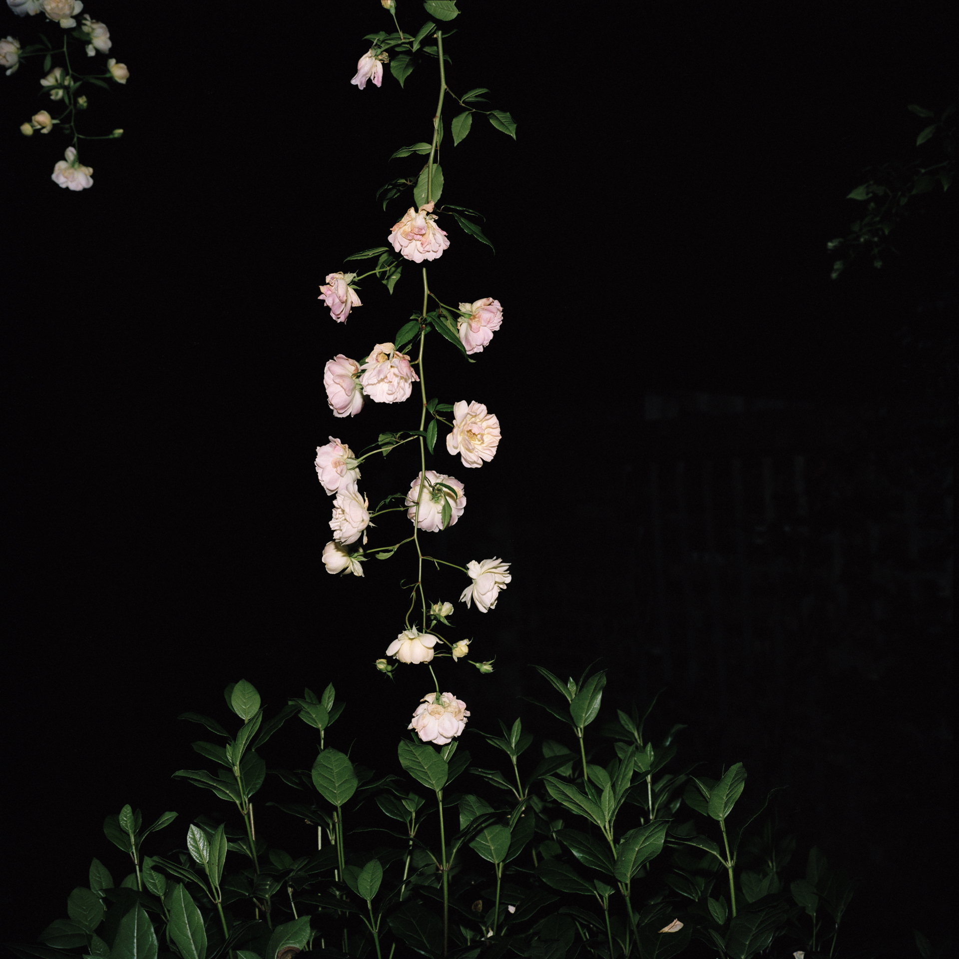Night Flower 103