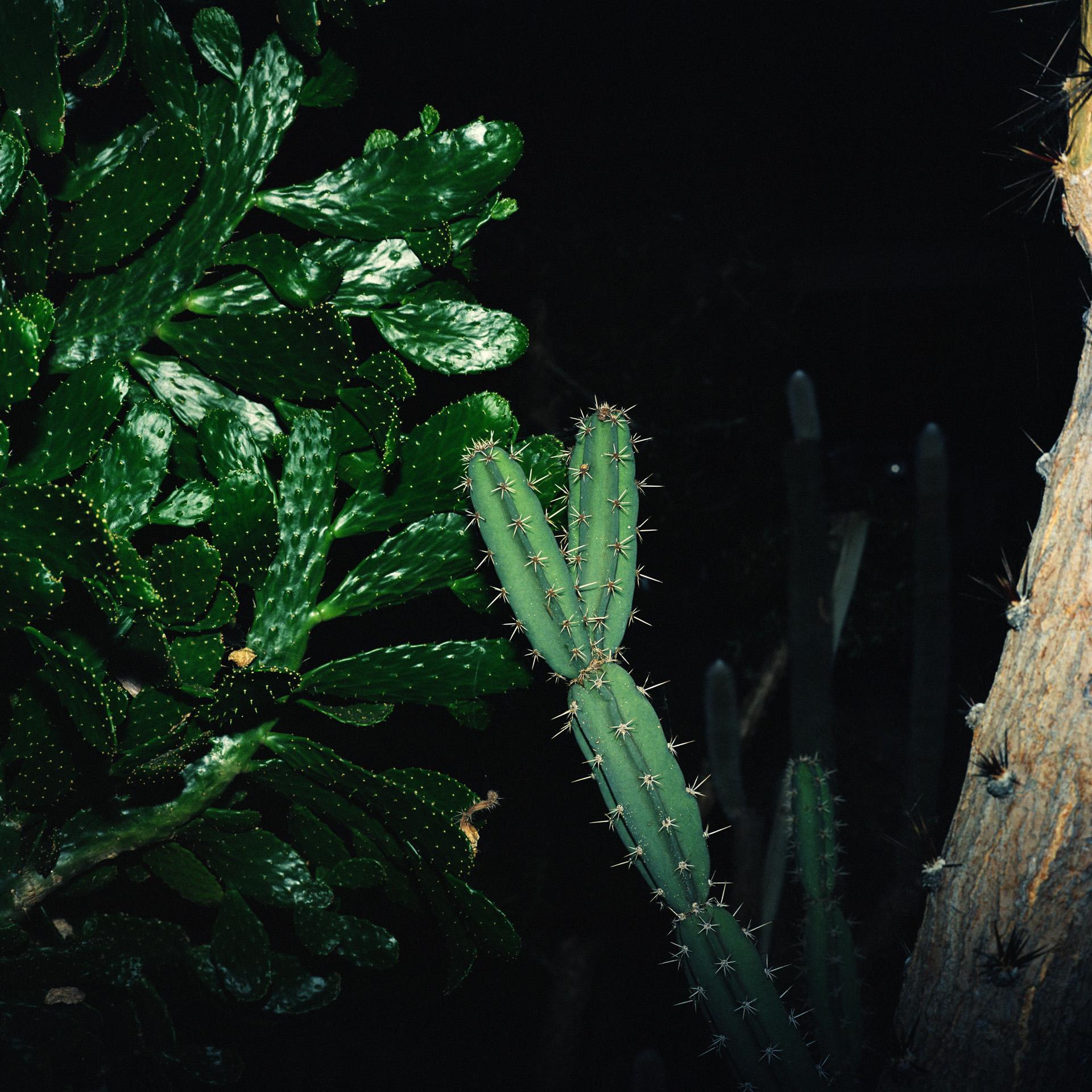 Night Cactus 051