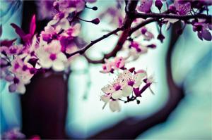 Blossoms-Rula-Sibai300px.jpg