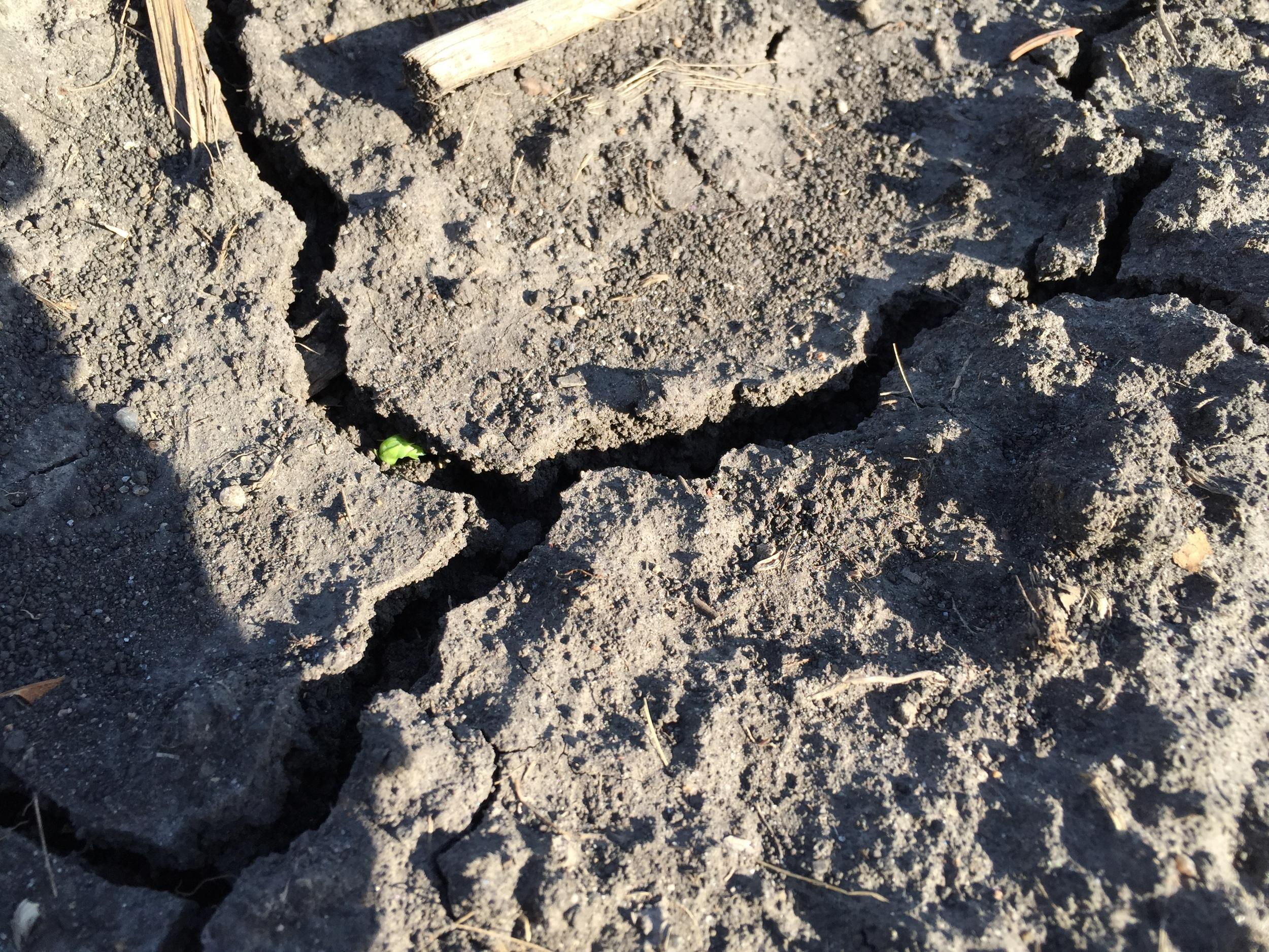 Peas are poking through the soil.