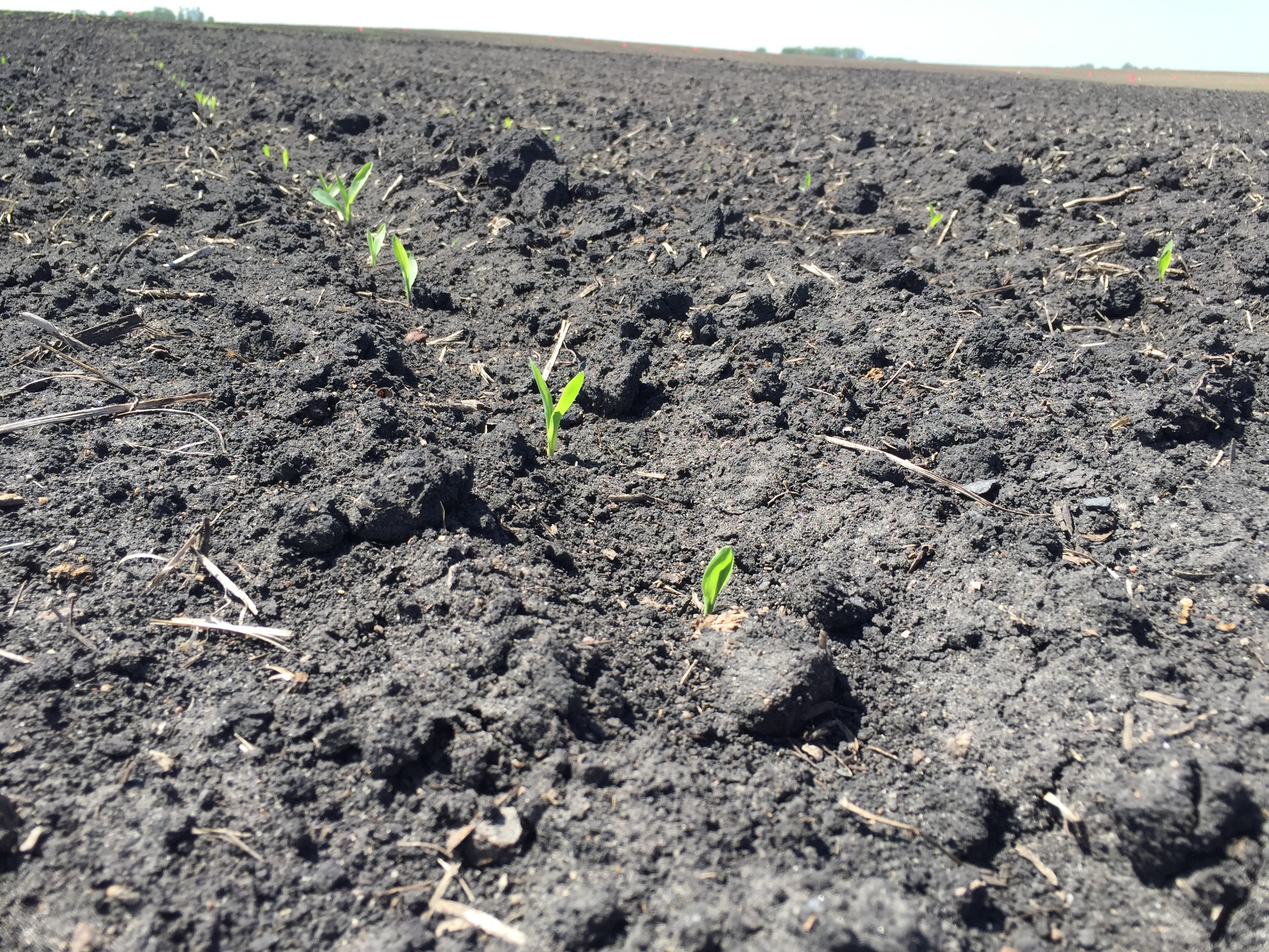 Sweetcorn poking through the earth.