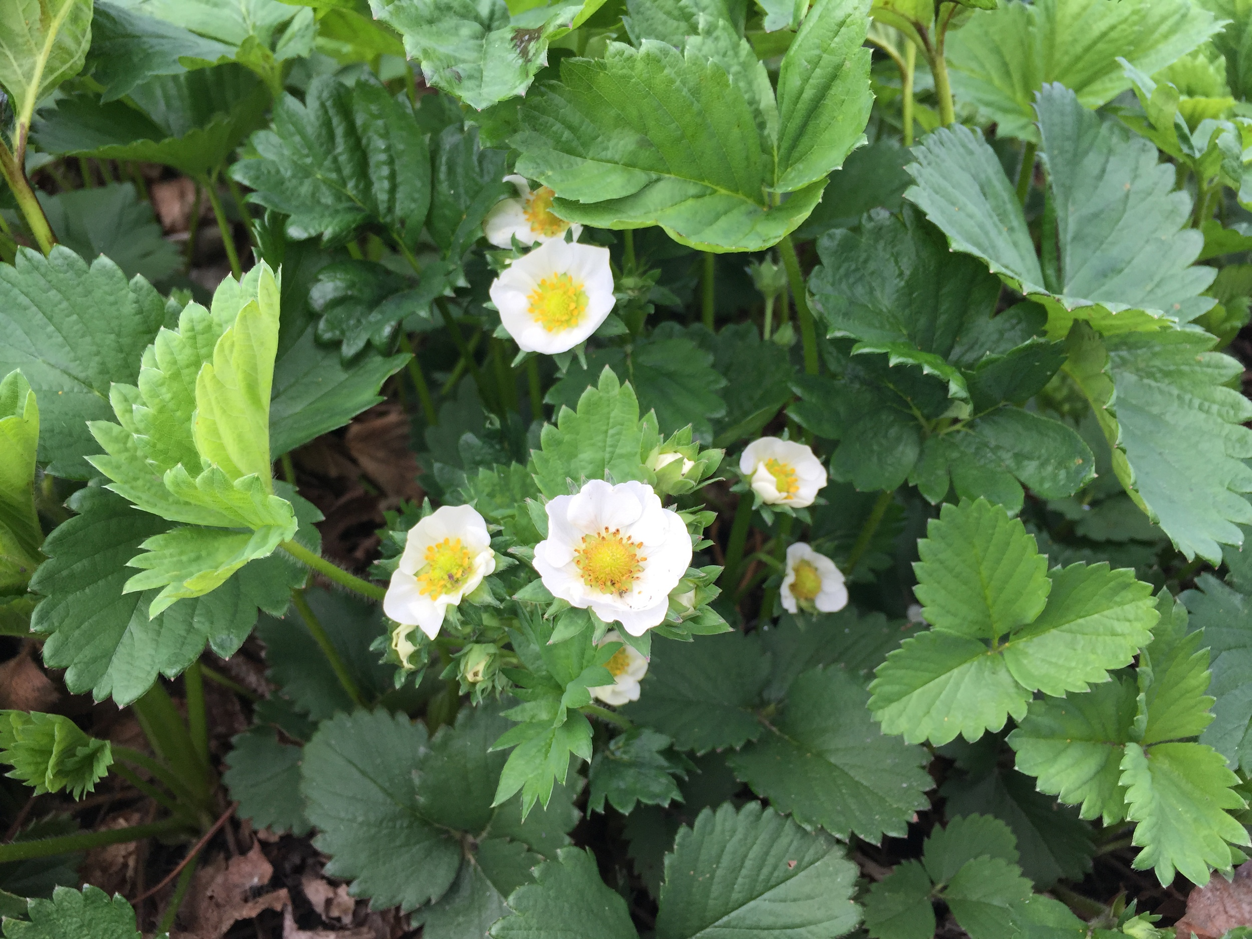 Strawberries are blooming!