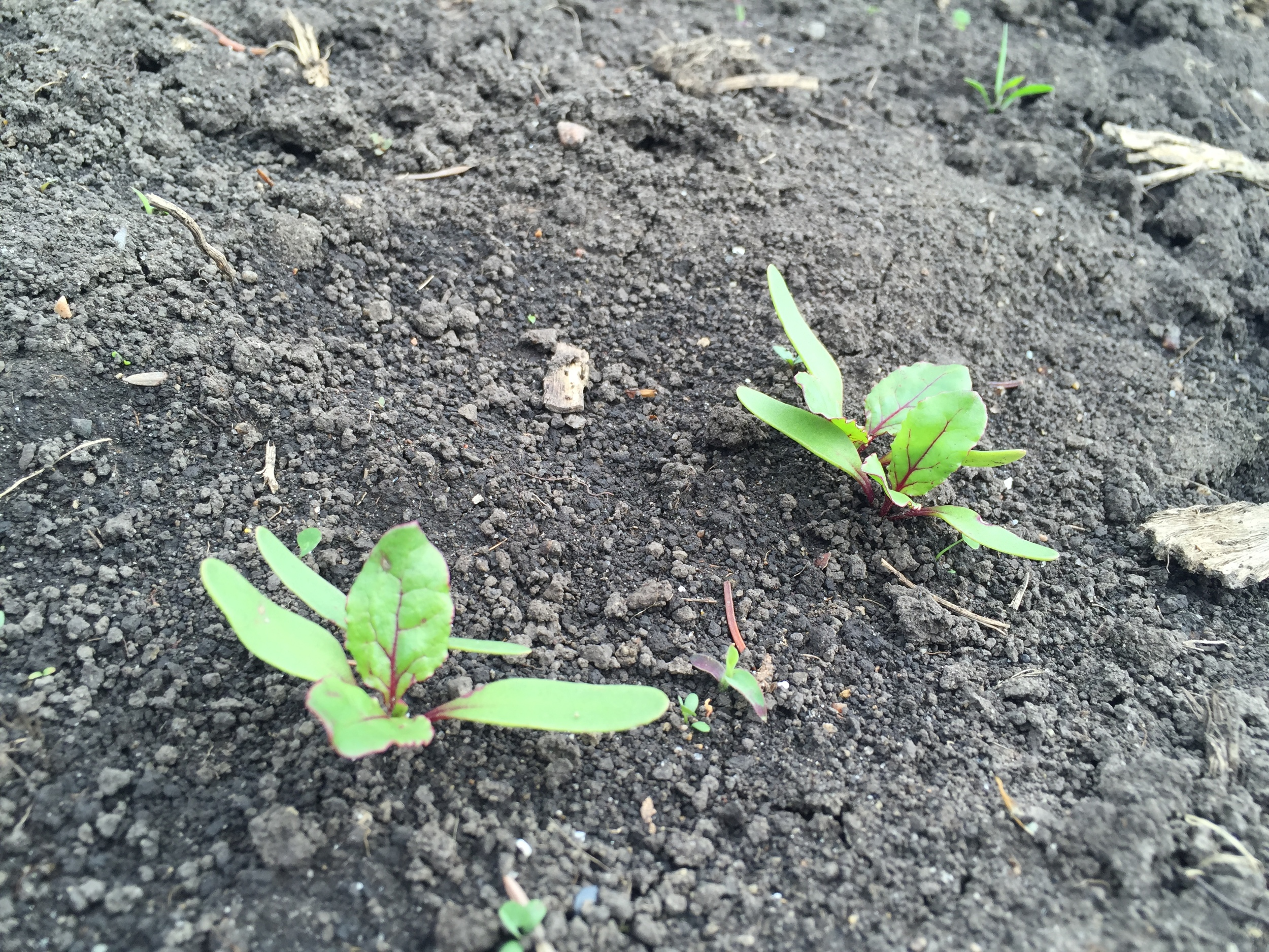Beets are coming in nicely.
