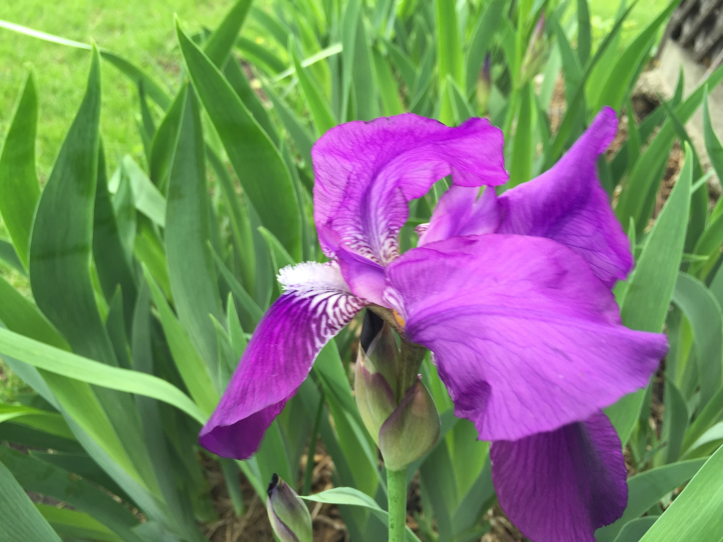 This iris is quite nice.