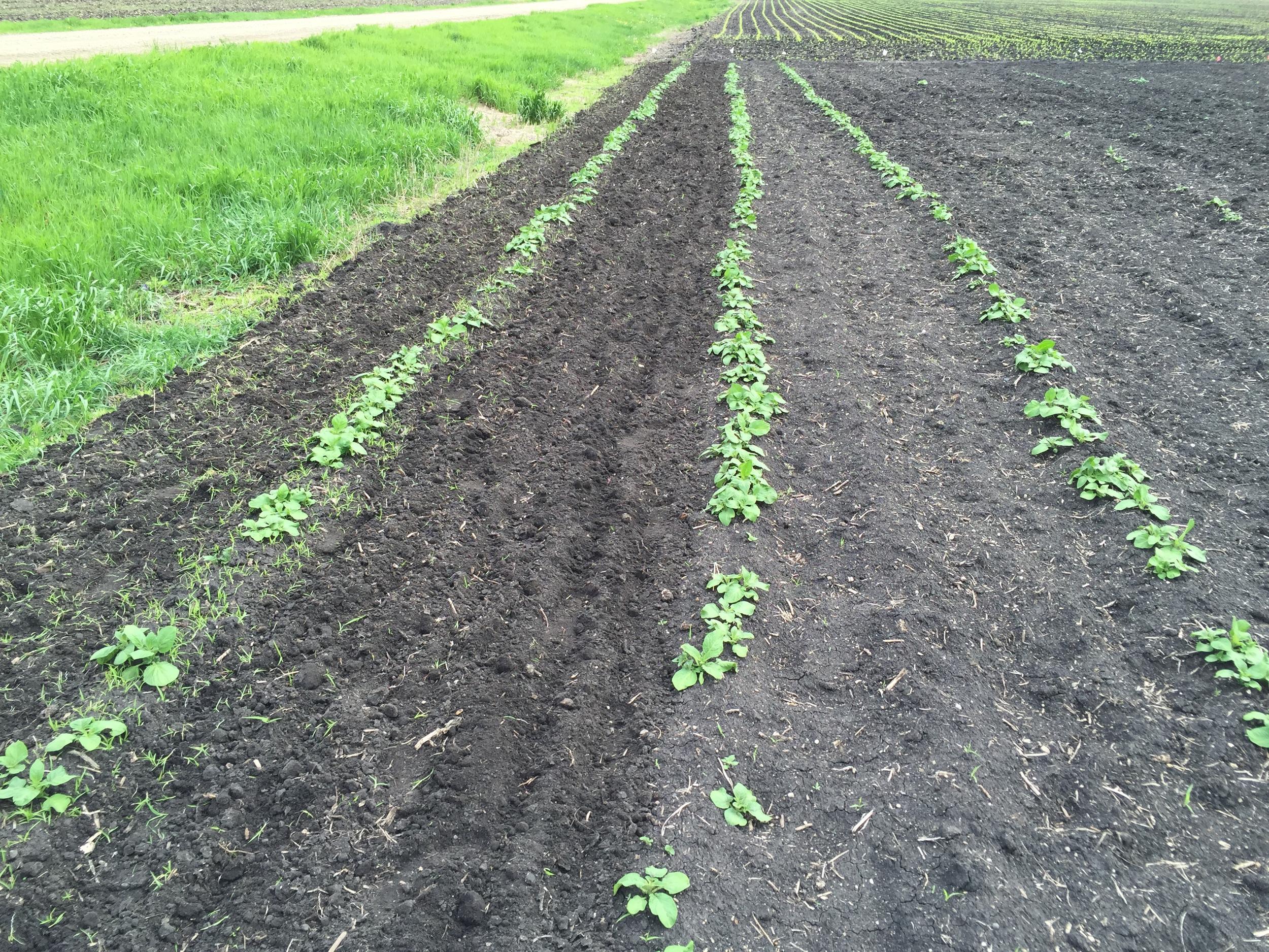 Weeding in progress! The potatoes here look excellent.