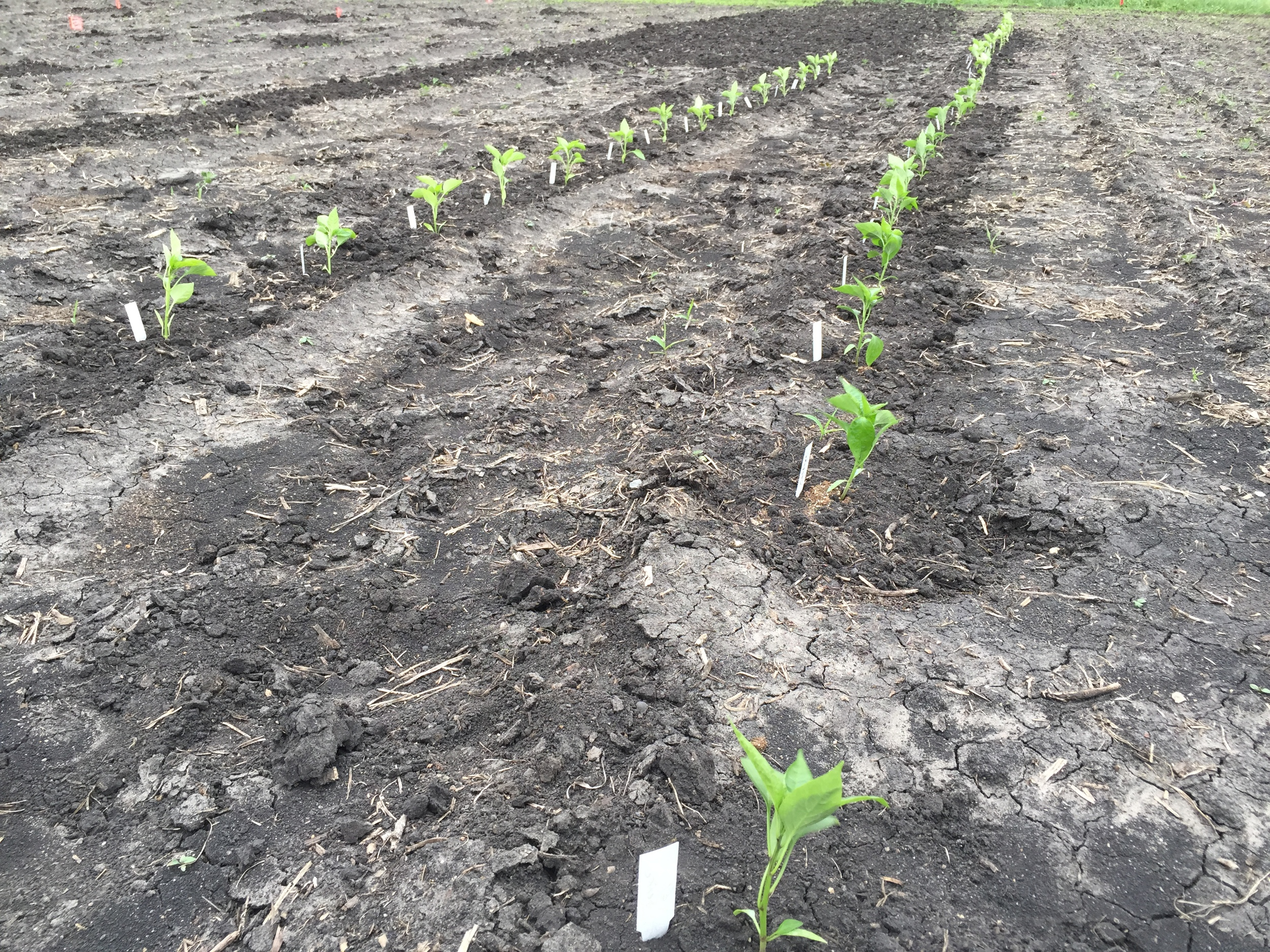 Peppers are transplanted!