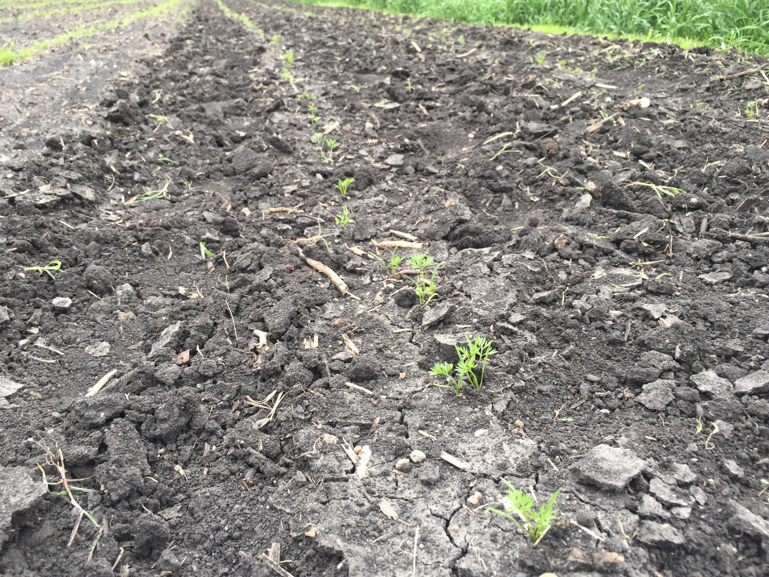Carrots weeded.