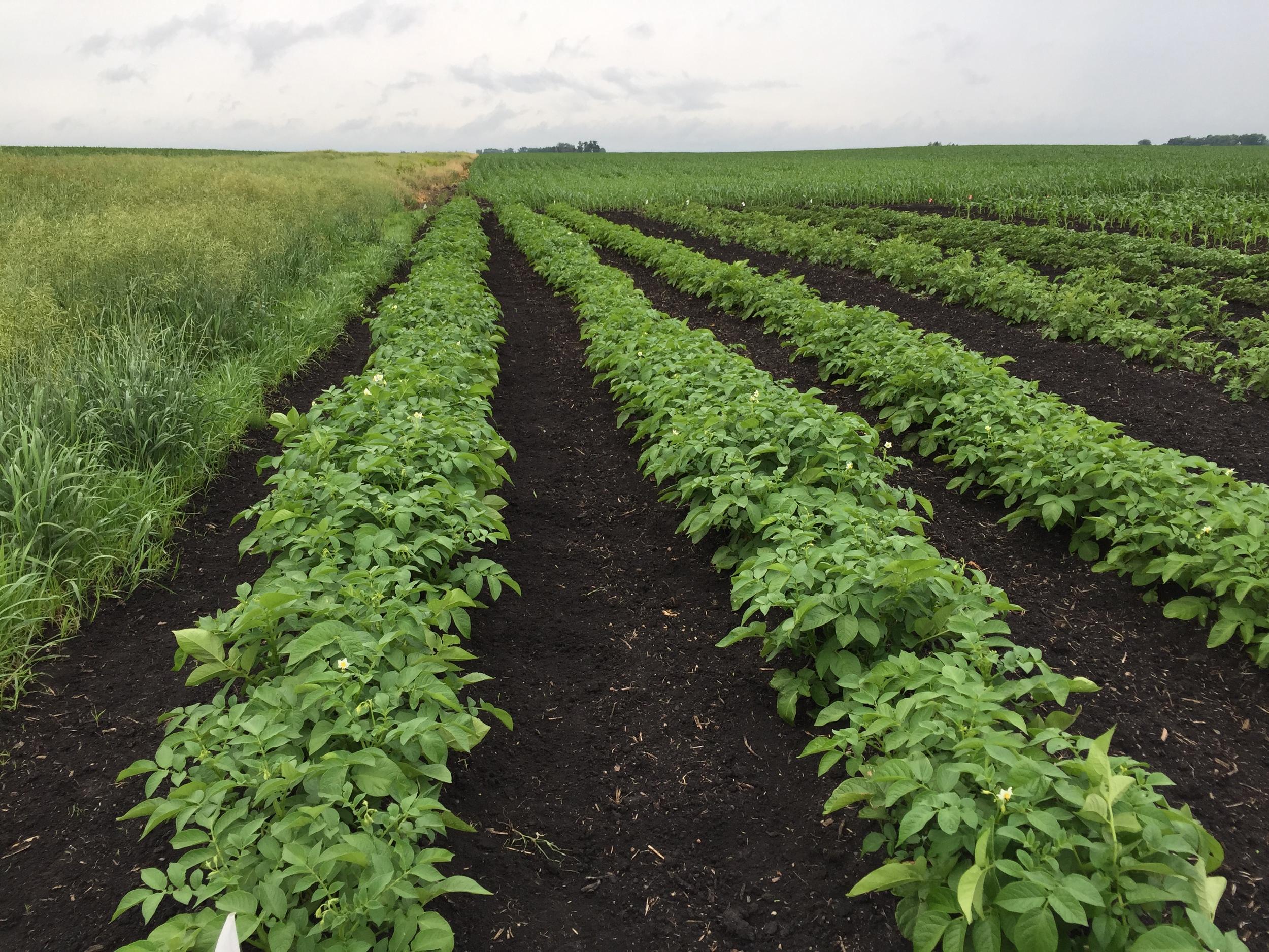 Potato rows.