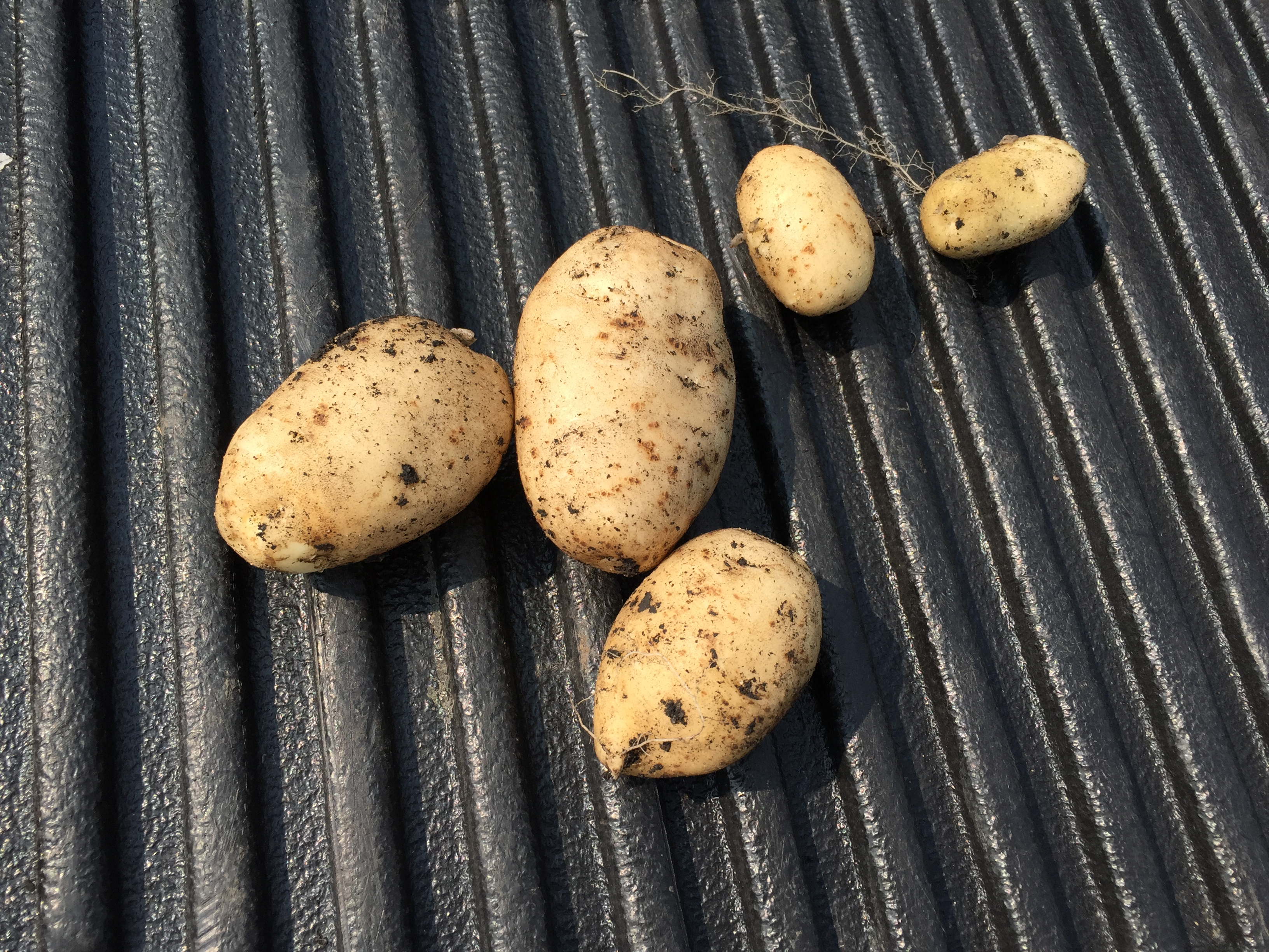 Potatoes! The larges is about the same diameter as a golf ball and about 3 inches long.
