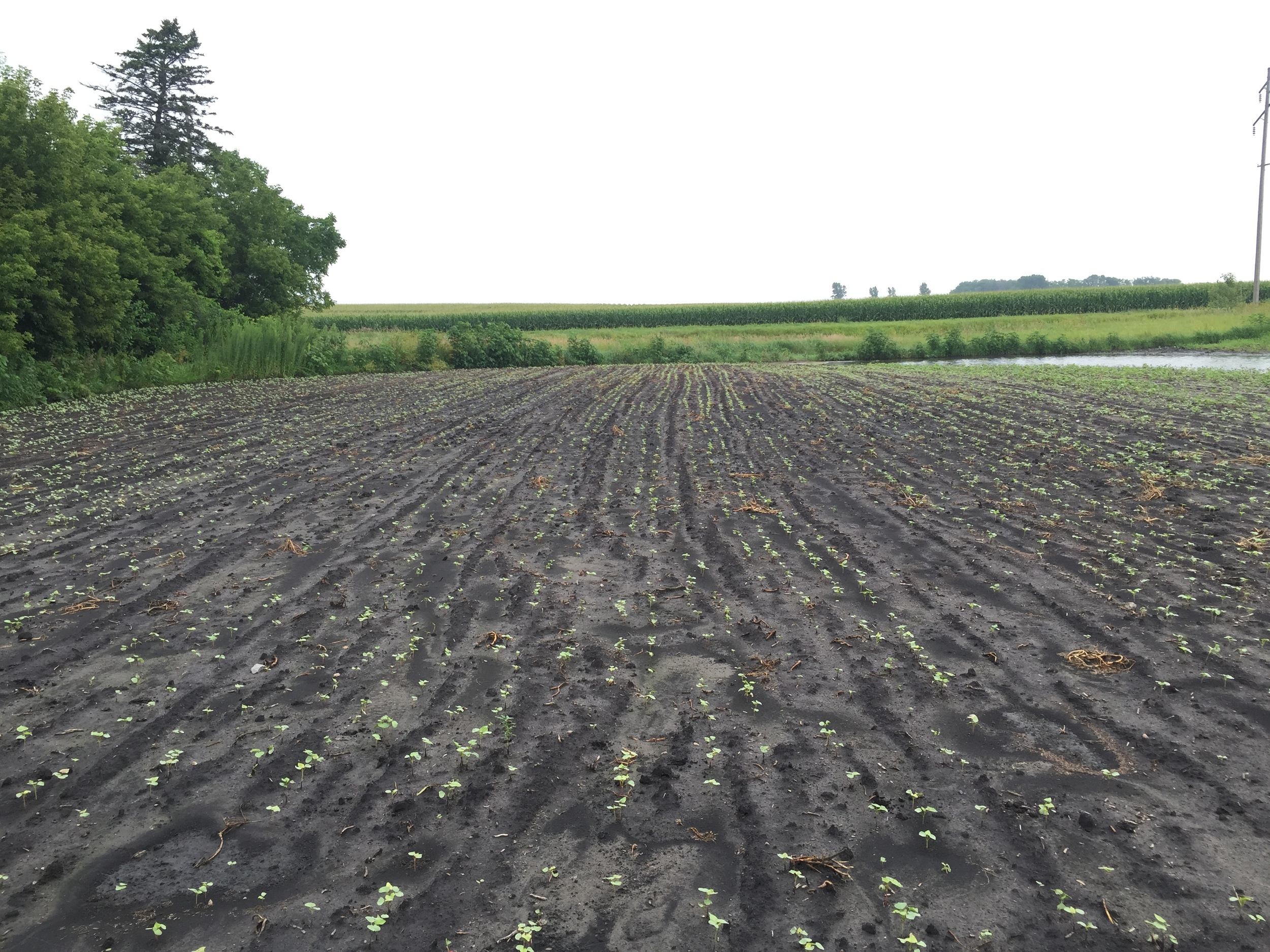 Cover crop emerging. This is baby buckwheat.
