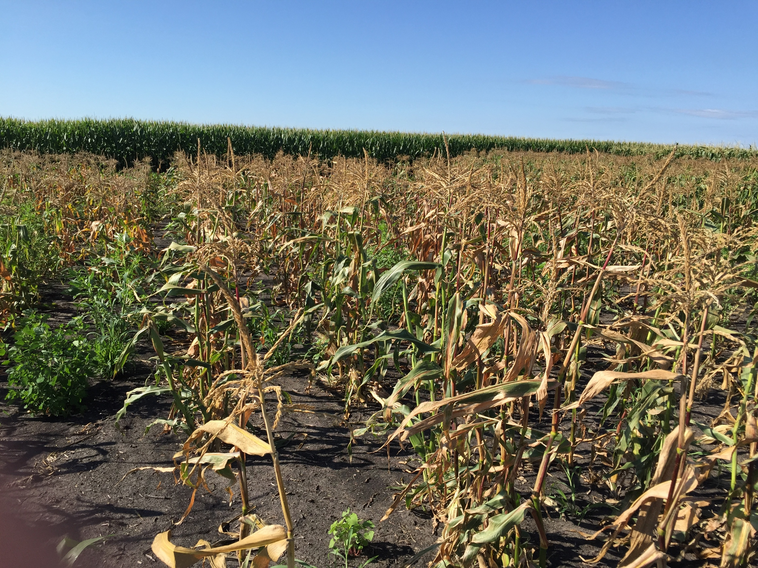 Sweet corn after the ears are harvested.