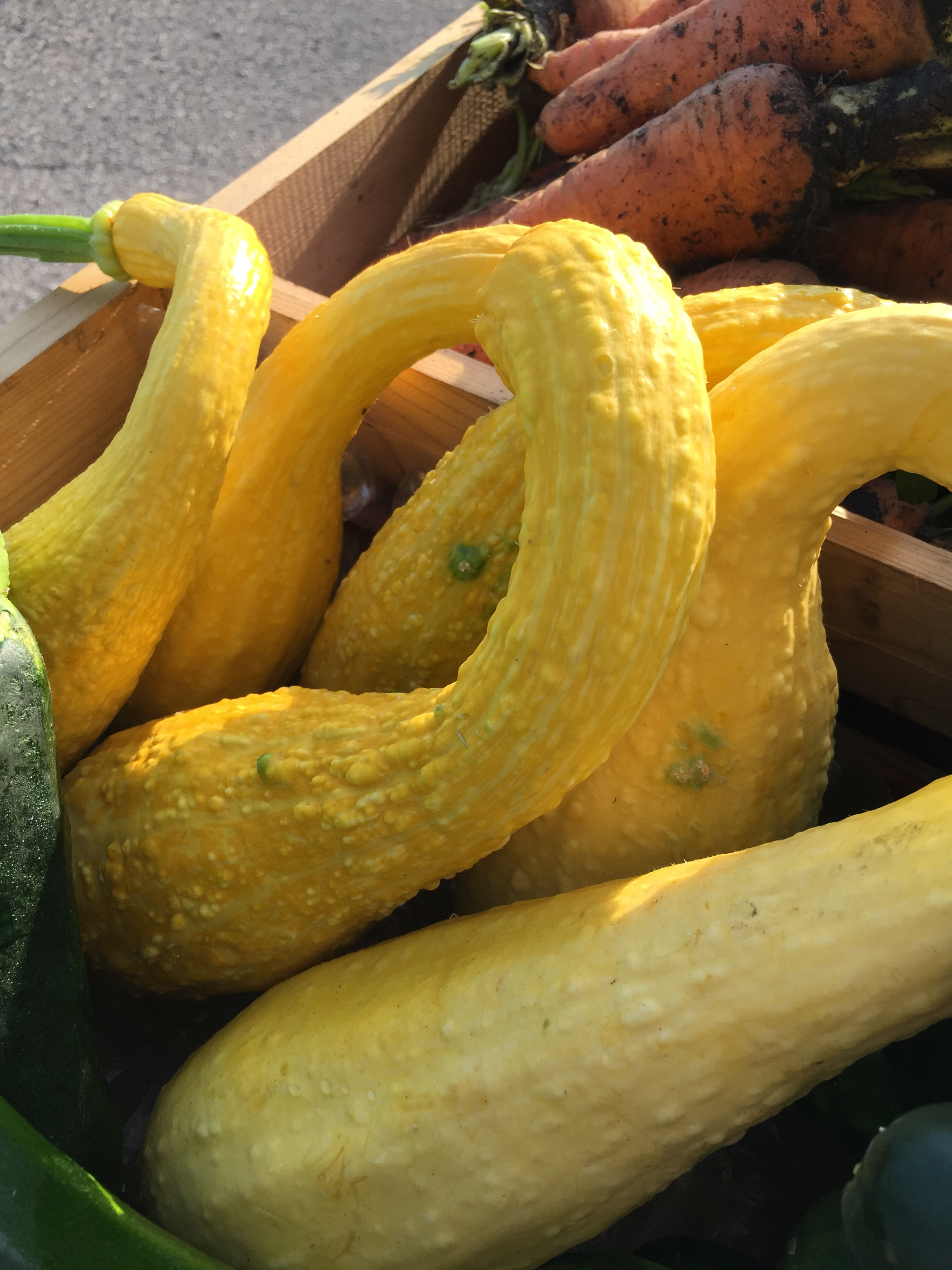 Some yellow crook-neck squash ready for sale.