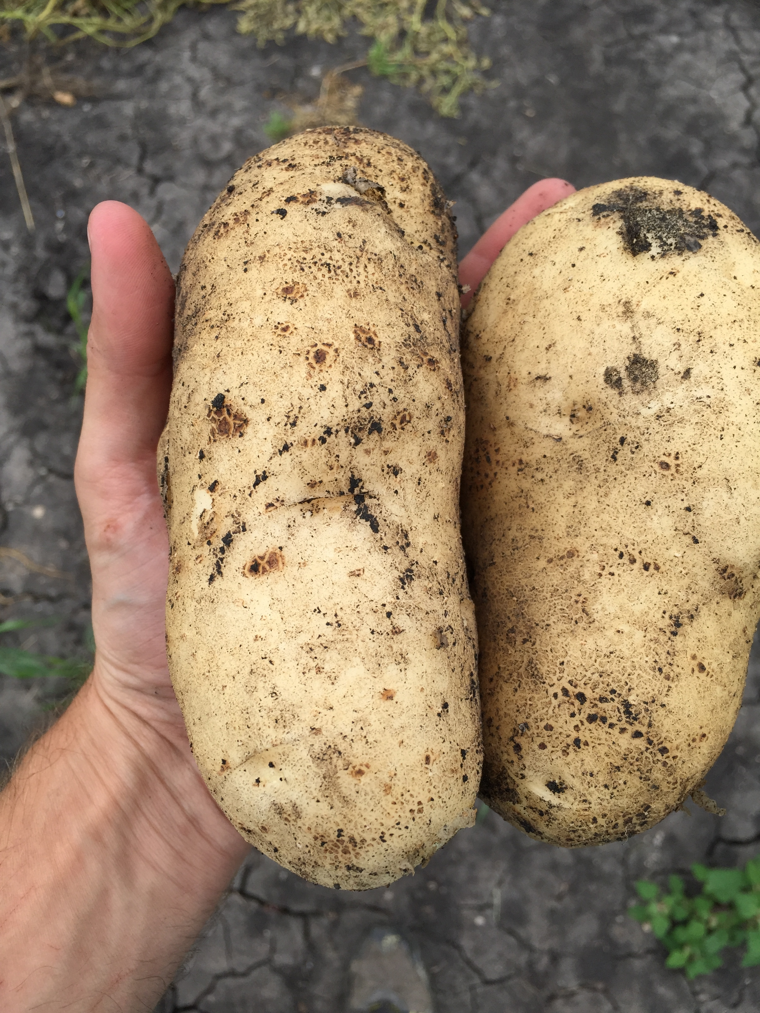 Grew some giant potatoes this year