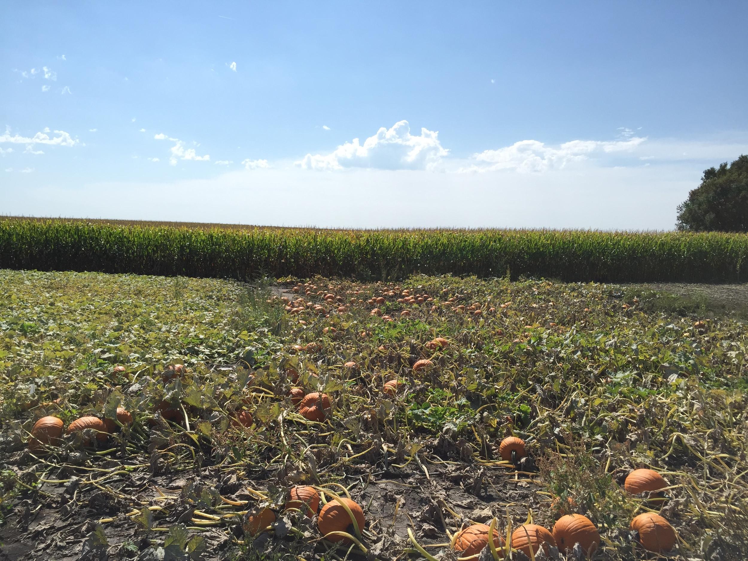 My pumpkin patch!