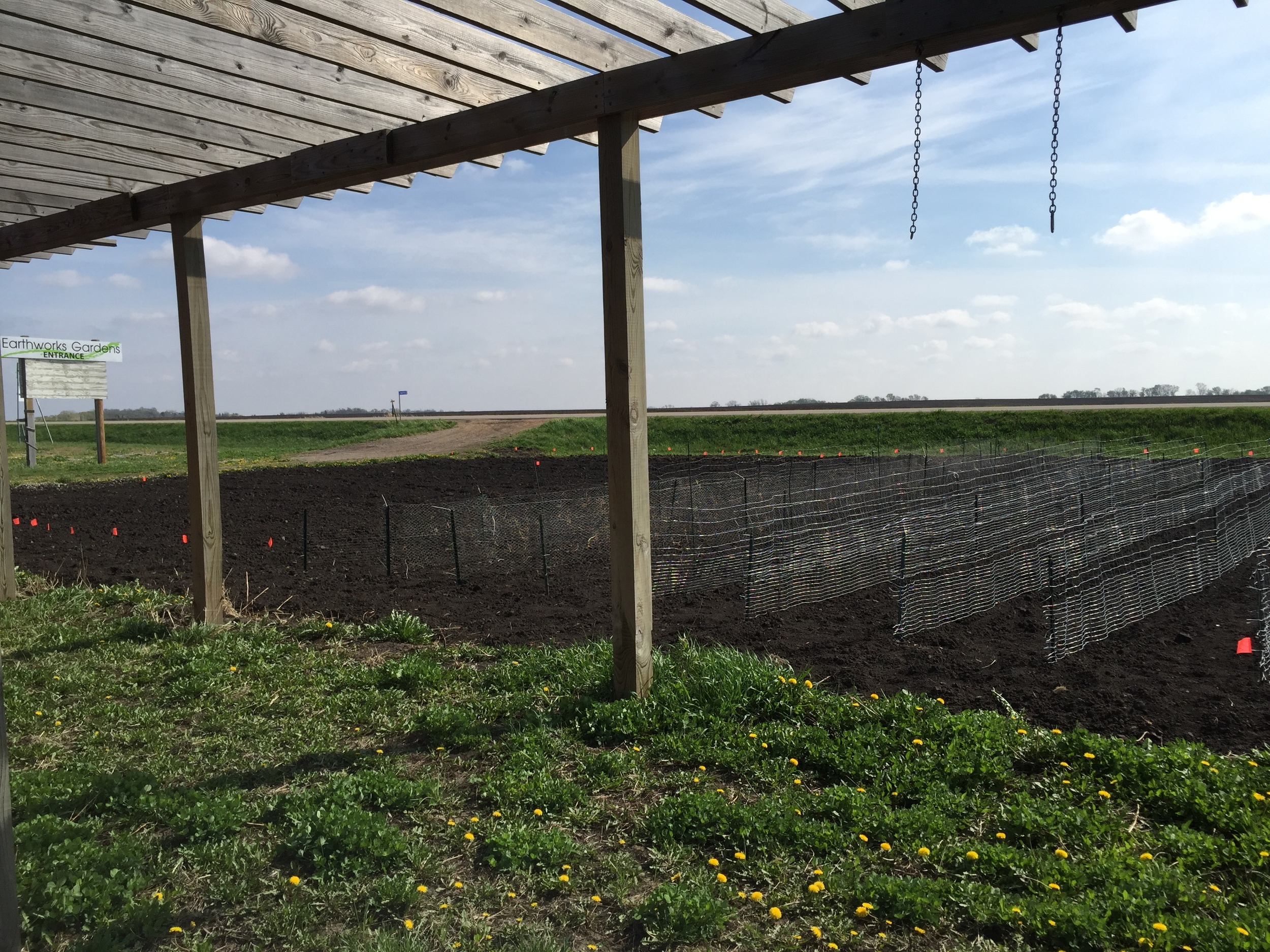 Trellis system for peas. Makes them easy to pick.