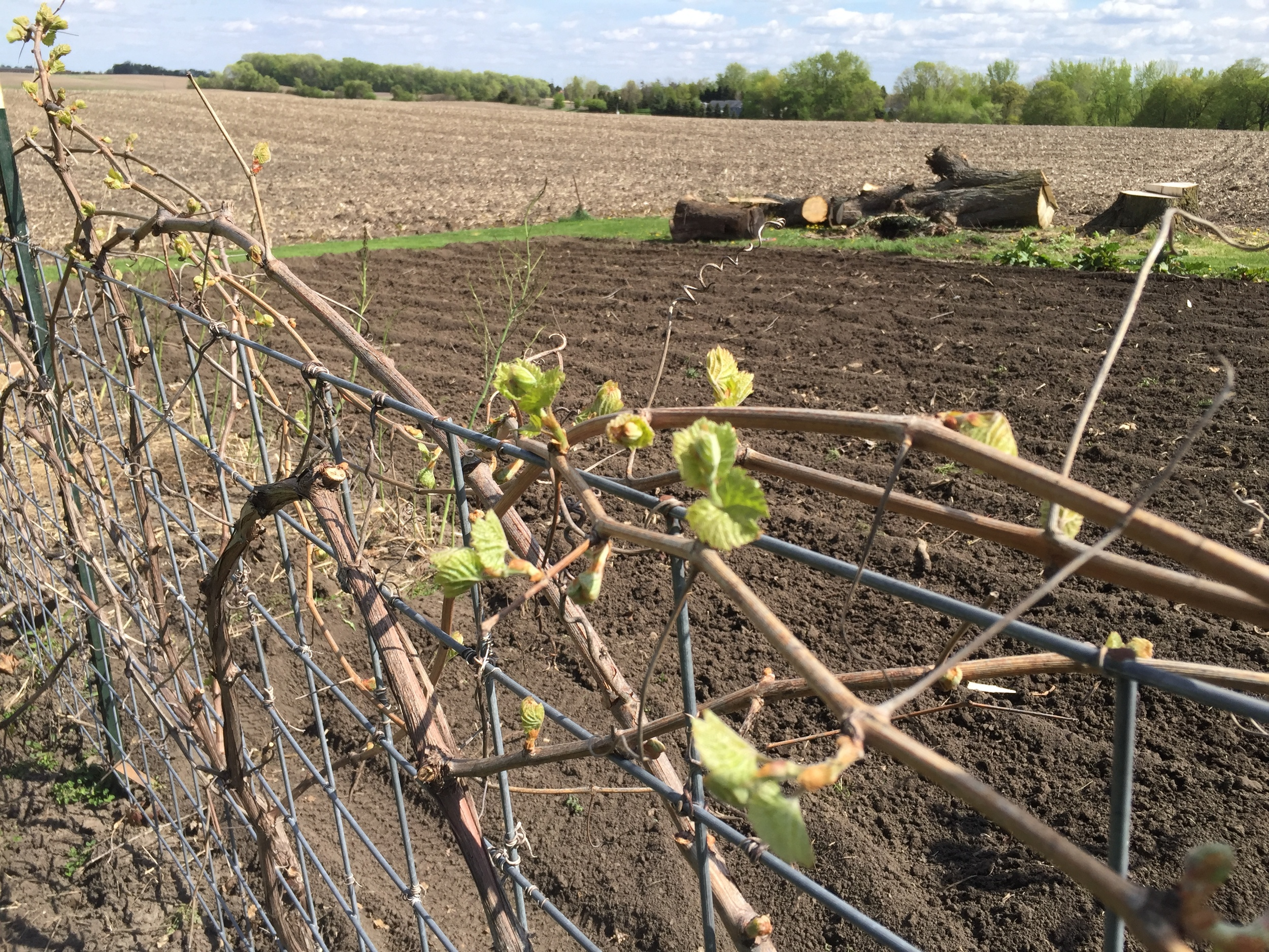 Grapes are budding and looking very healthy.