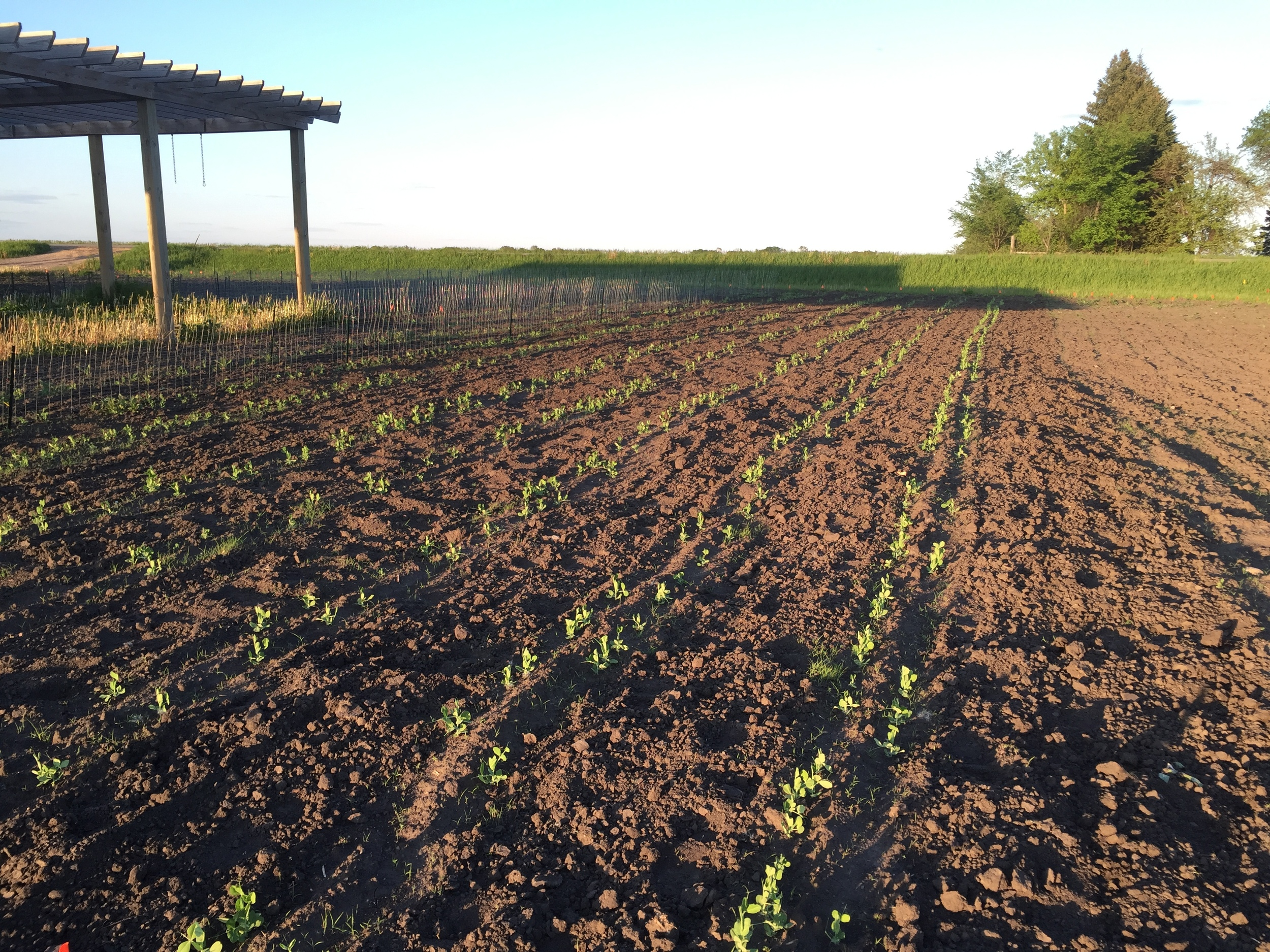 Peas are looking good.