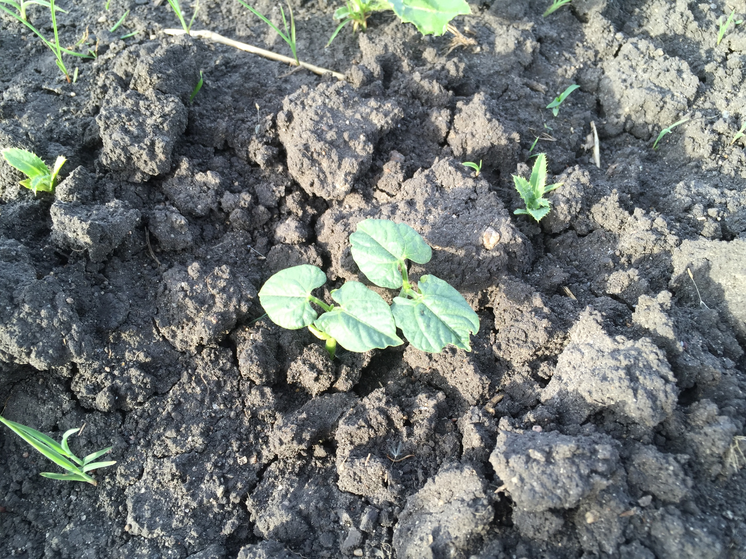 Green Beans emerging from the soil.