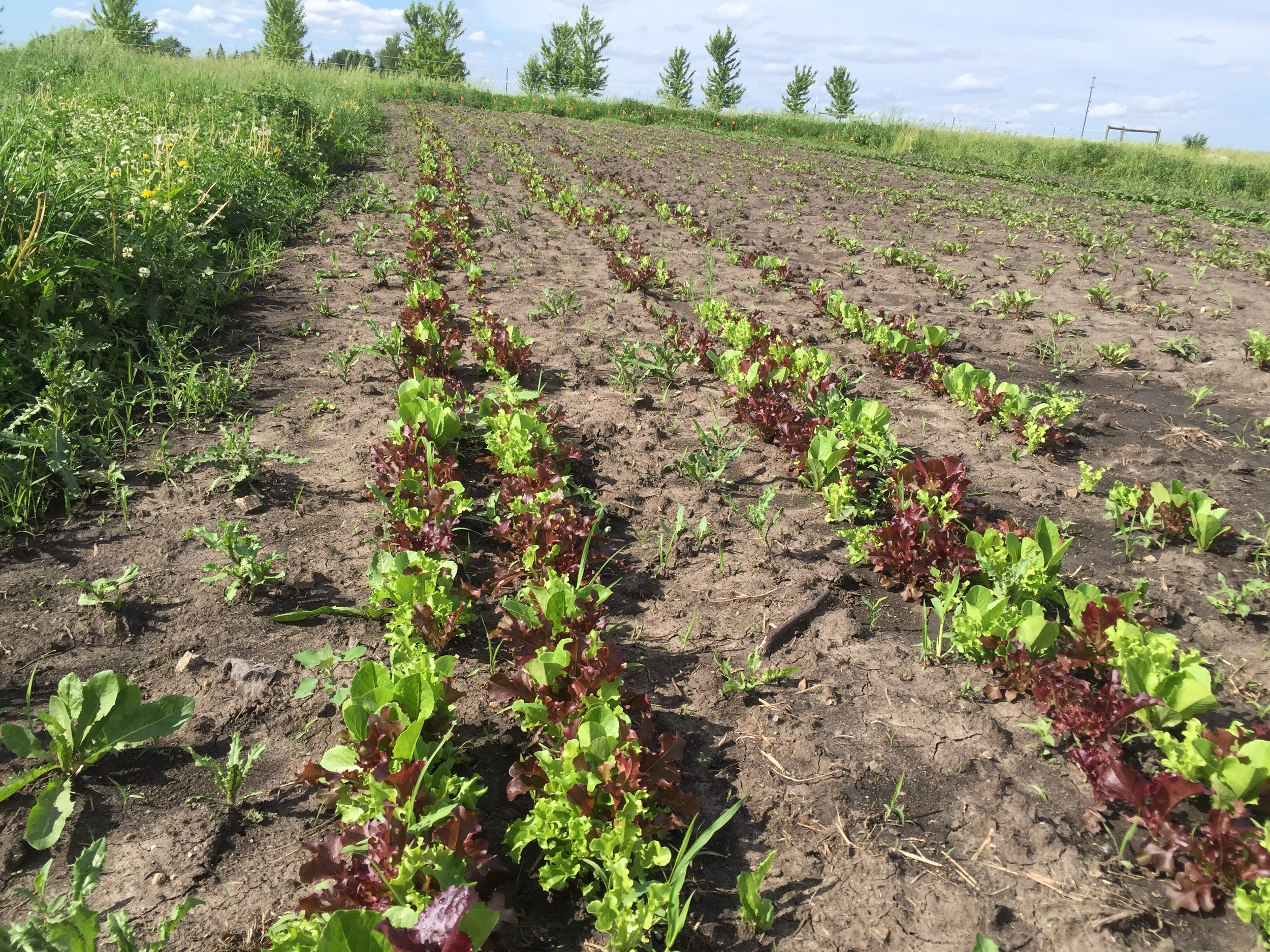 Lettuce mix, ignore the tall weeds to the left!