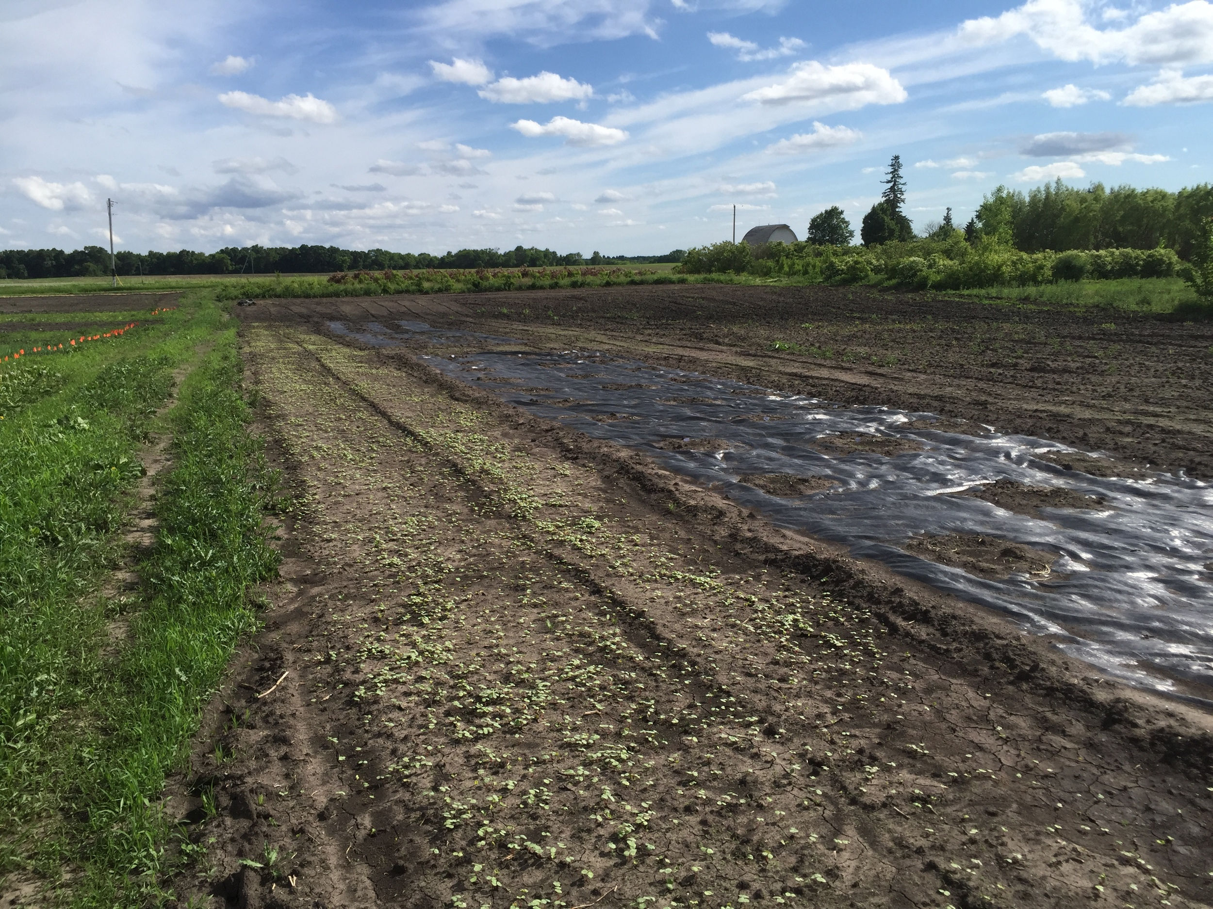 To the left is buckwheat, a cover crop that suppresses weeds and attracts pollinators. To the right is landscape fabric with spaghetti squash and honey dew melon planted.