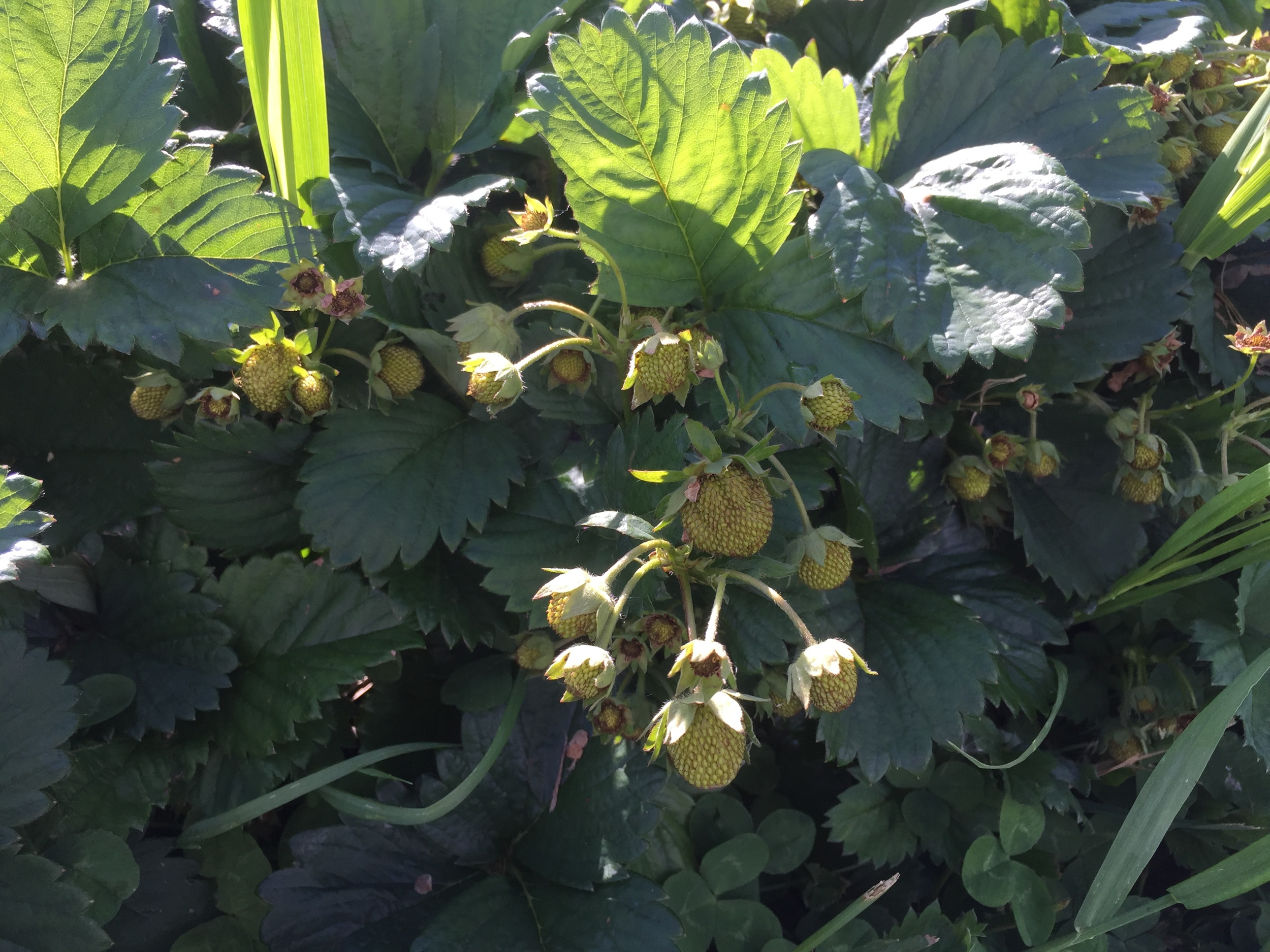 Strawberries are getting close!