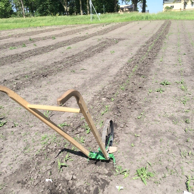 I've always loved the look of a freshly weeded row of sweet corn. The oscillating hoe attached to my wheel hoe makes it a breeze.