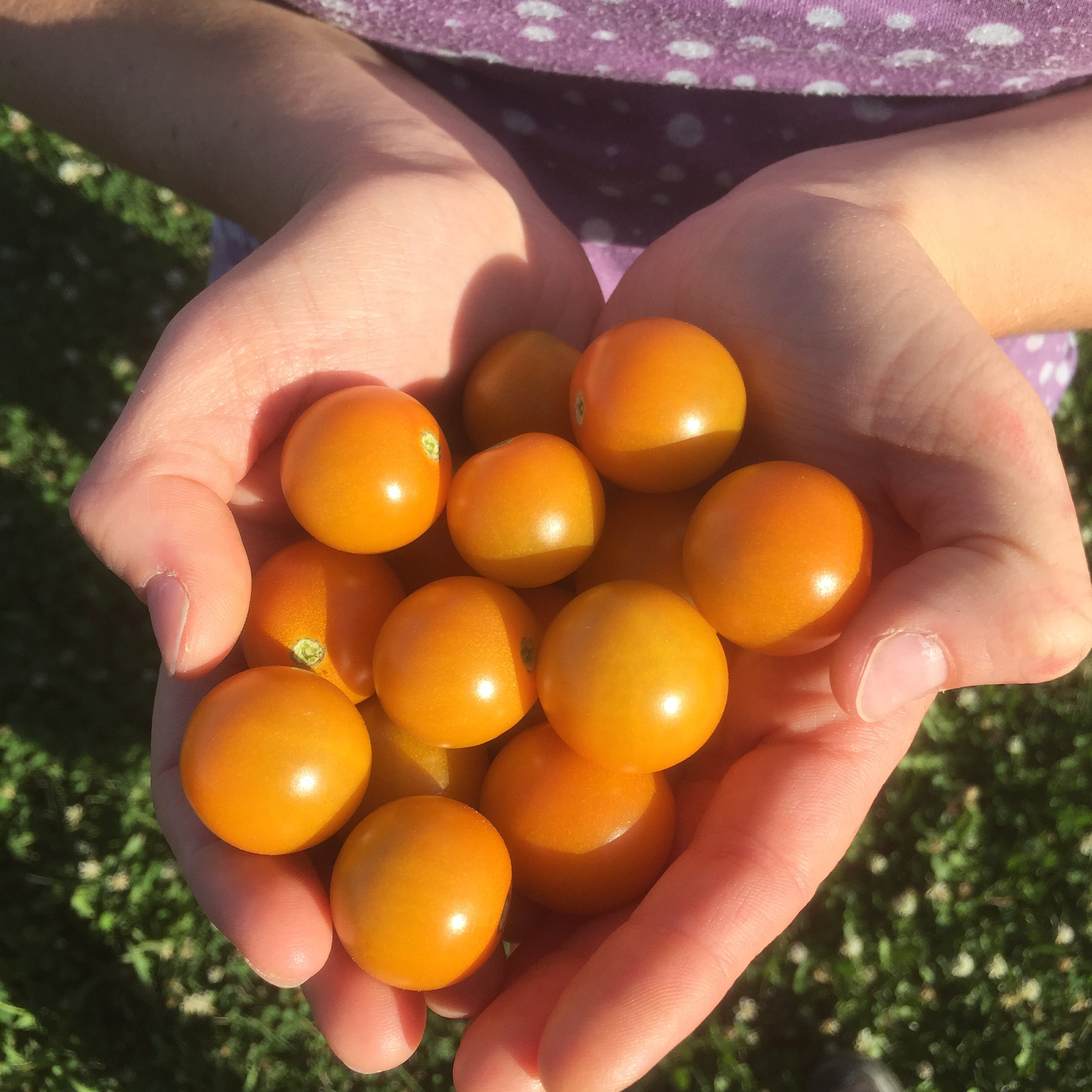 Sun Gold cherry tomatoes are nearly unbeatable. This was the first handful picked this season.