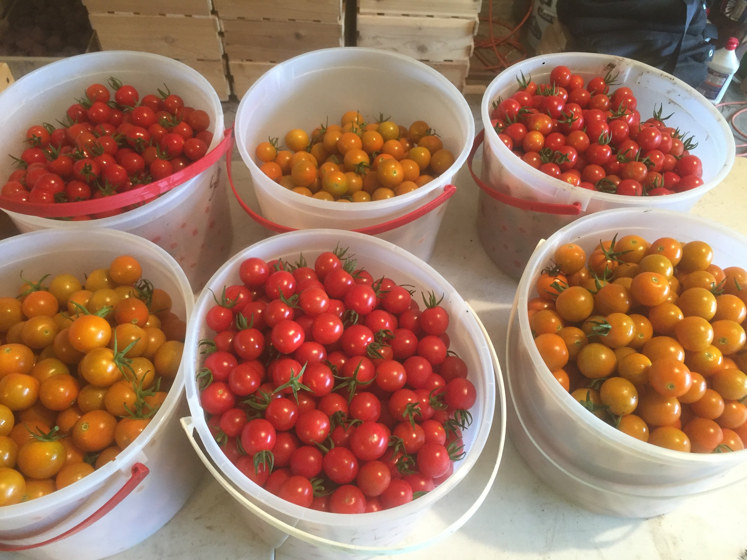 At peak season I would pick around 60lbs of cherry tomatoes a week.
