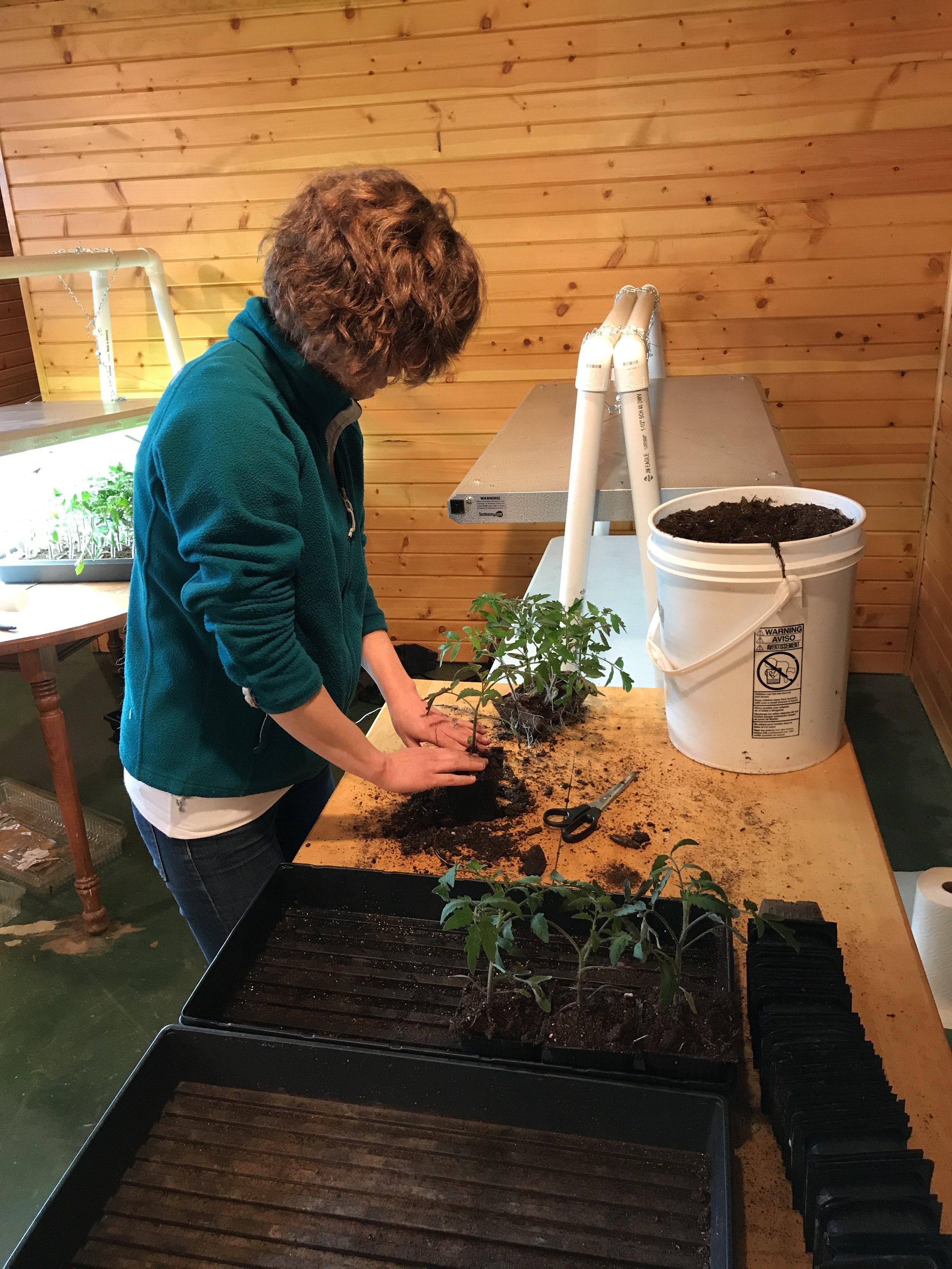 Lara is working on re-potting tomatoes in this picture. Our transplants have grown too large for their pots so we move them to larger pots since it's too early to plant them outdoors.