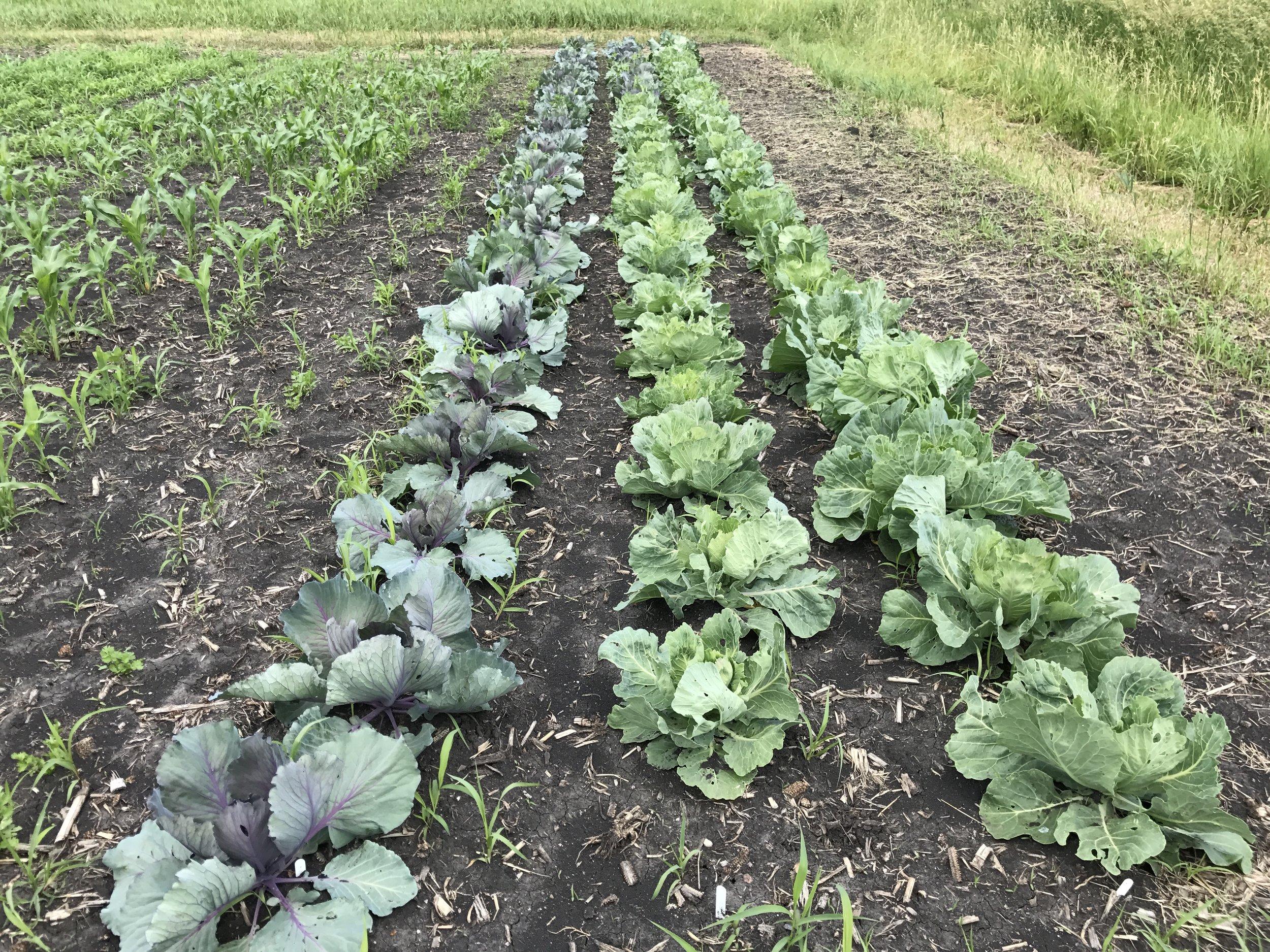 Cabbage looking goooood.