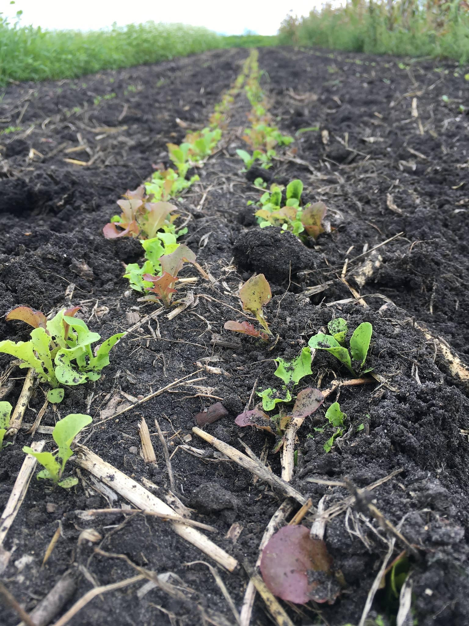 Baby Lettuce.jpg