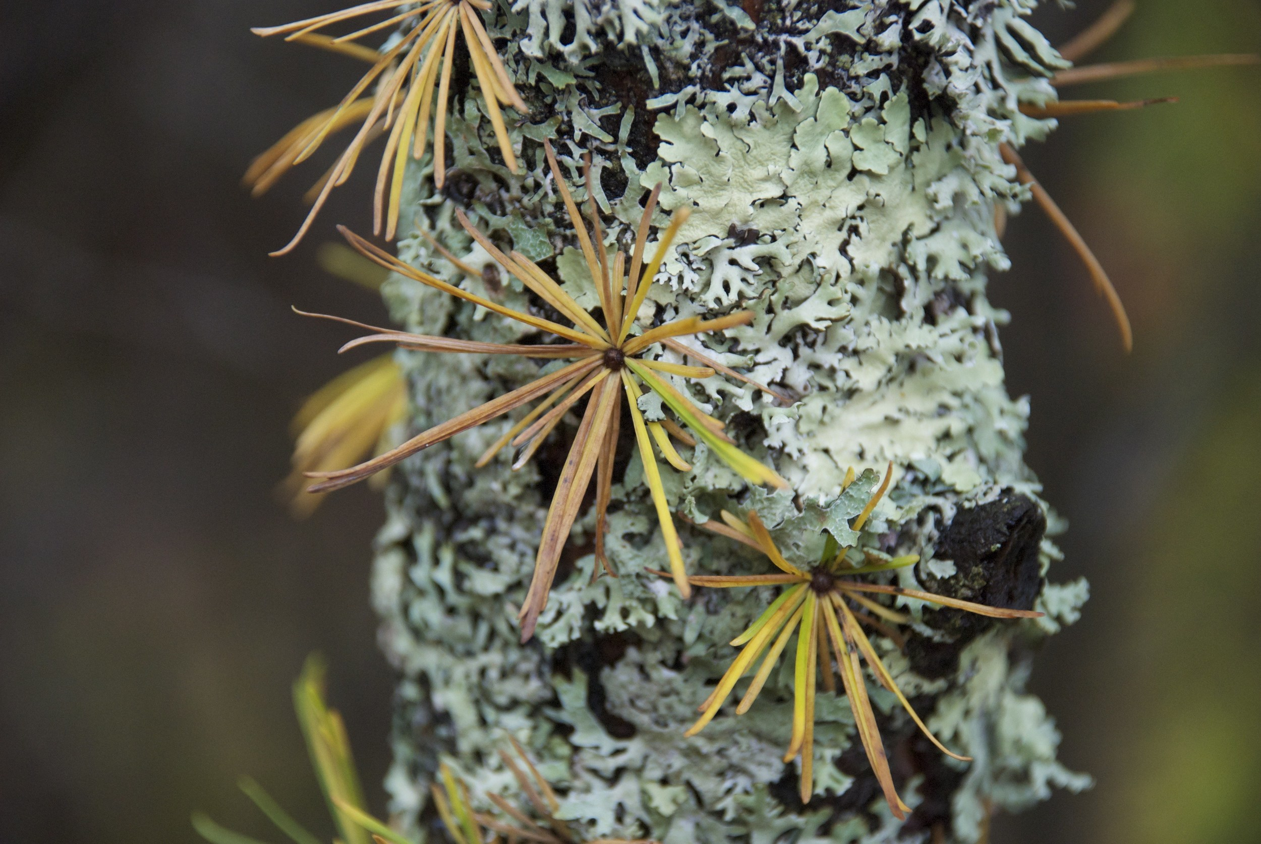 Tamarack Larix laricina                                           © Annette Heist