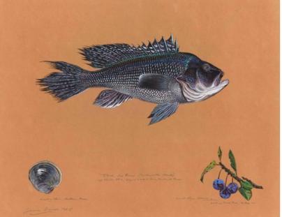 Black sea bass (  Centropristis striata  ), by James Prosek