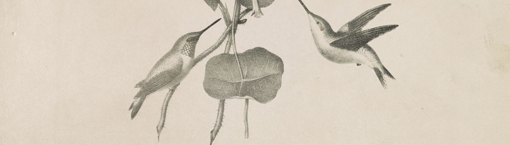 Detail from Hummingbirds / from life & on stone by M.E.D. Brown ; his lith. No. 5 Library St. Phila. via LOC.